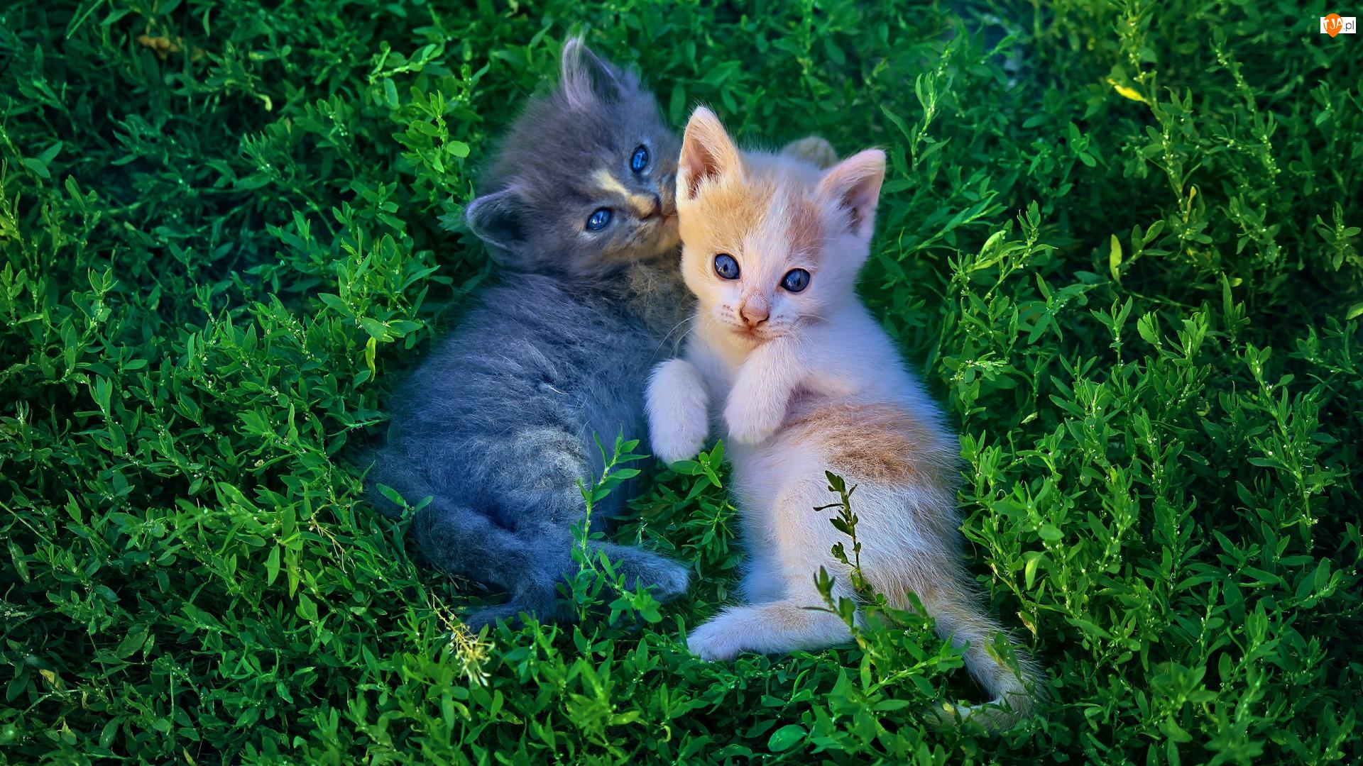 Dwa, Trawa, Koty, Rudy, Małe, Szary