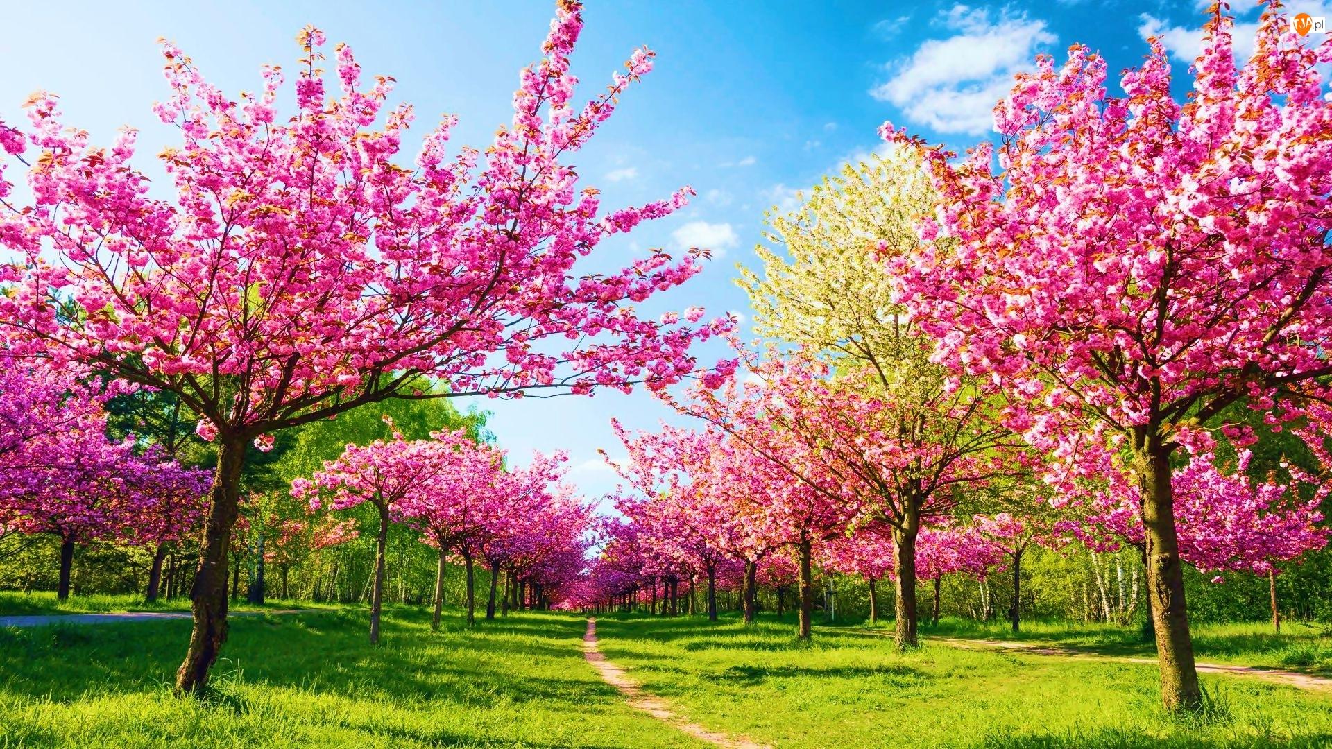 Wiosna, Kwitnące, Drzewa, Ścieżka