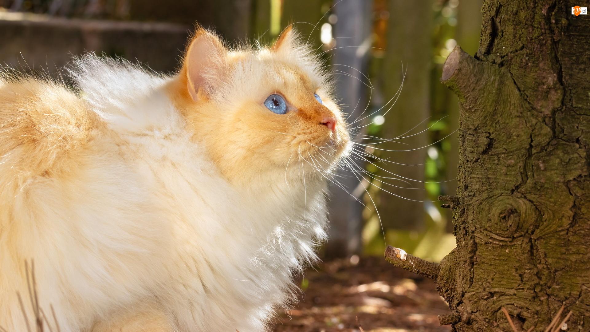 Kot, Niebieskooki, Długowłosy