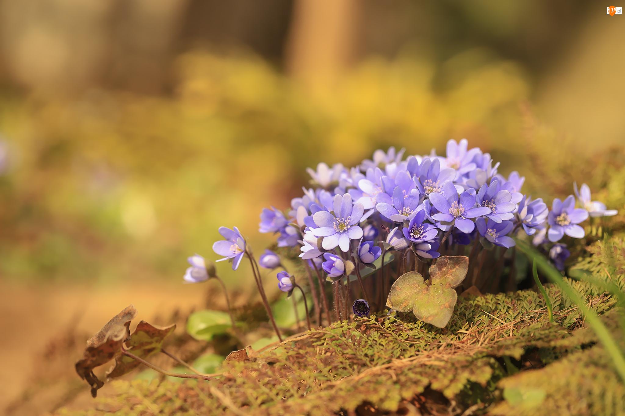 Kępka, Przylaszczki, Liliowe, Kwiaty
