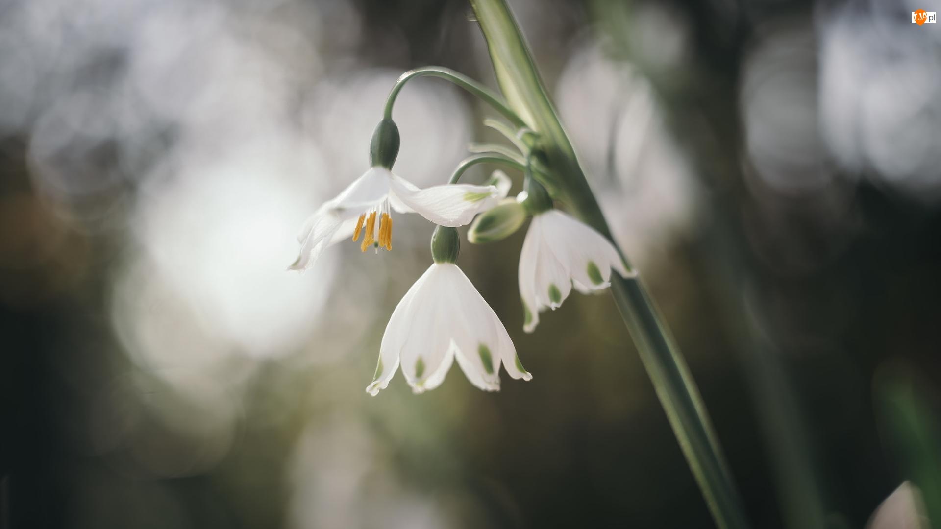 Śnieżyce, Pochylone, Kwiaty