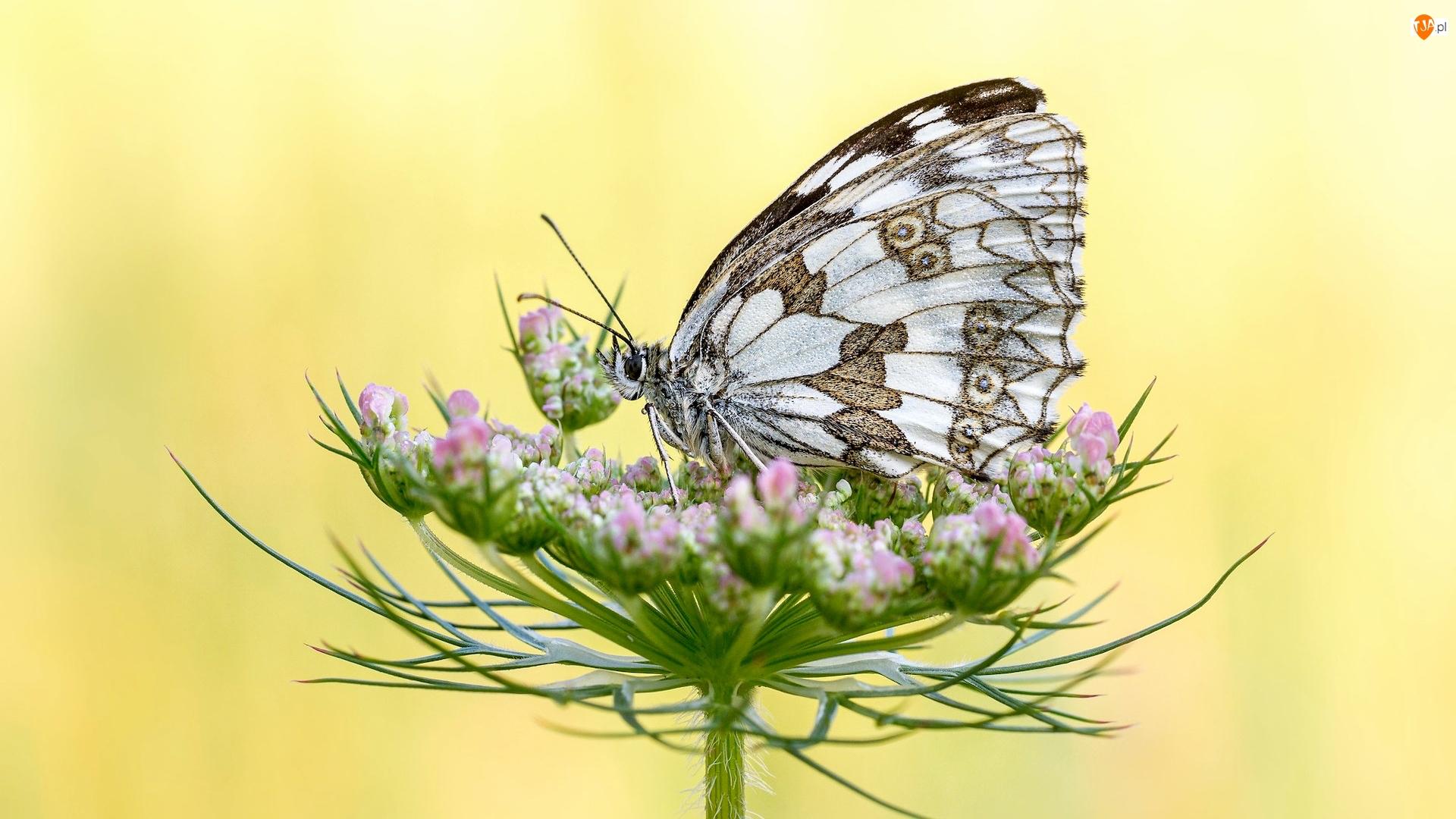 Żółte tło, Motyl, Polowiec szachownica, Roślina