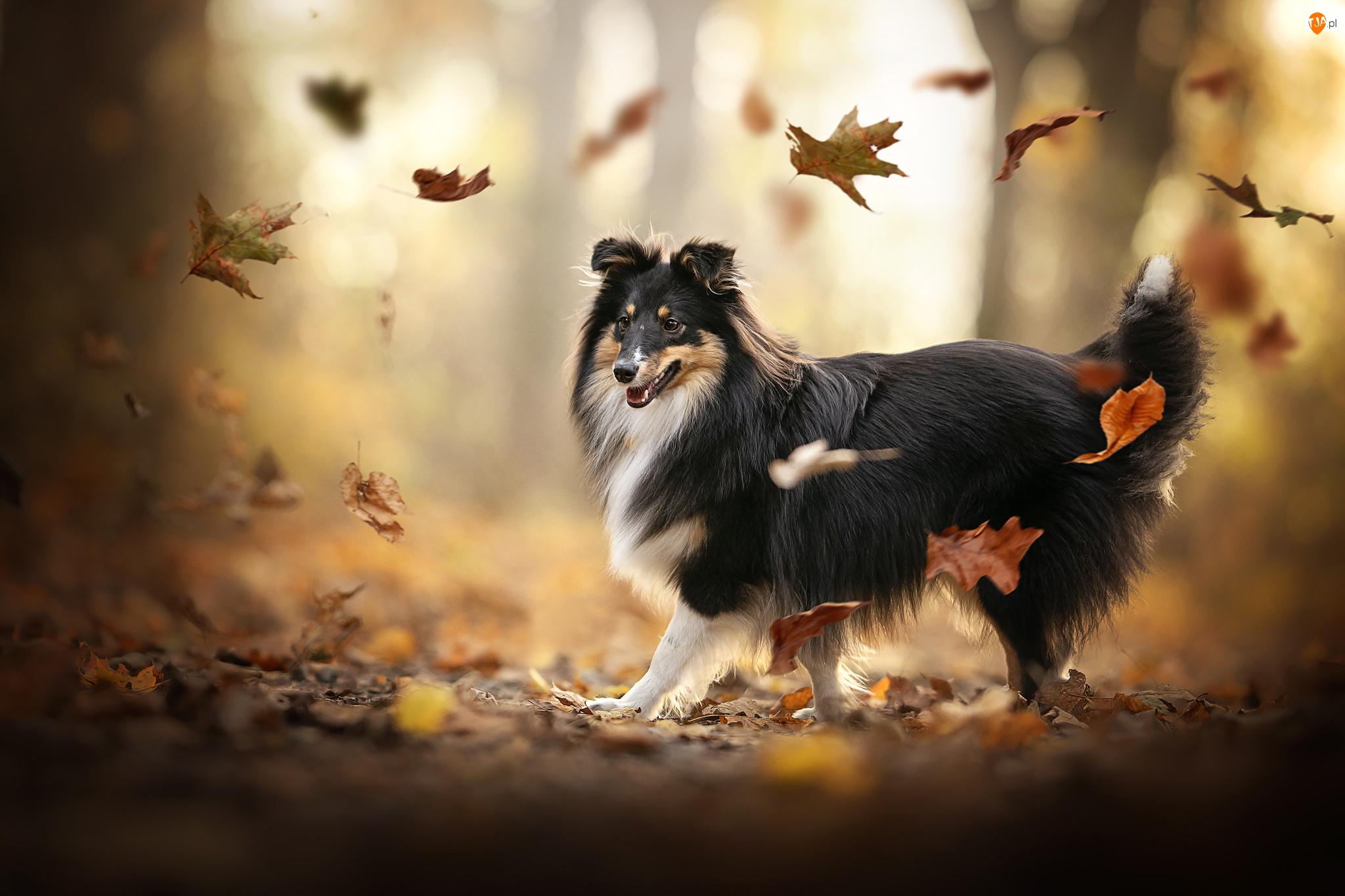 Jesień, Pies, Owczarek szetlandzki, Liście