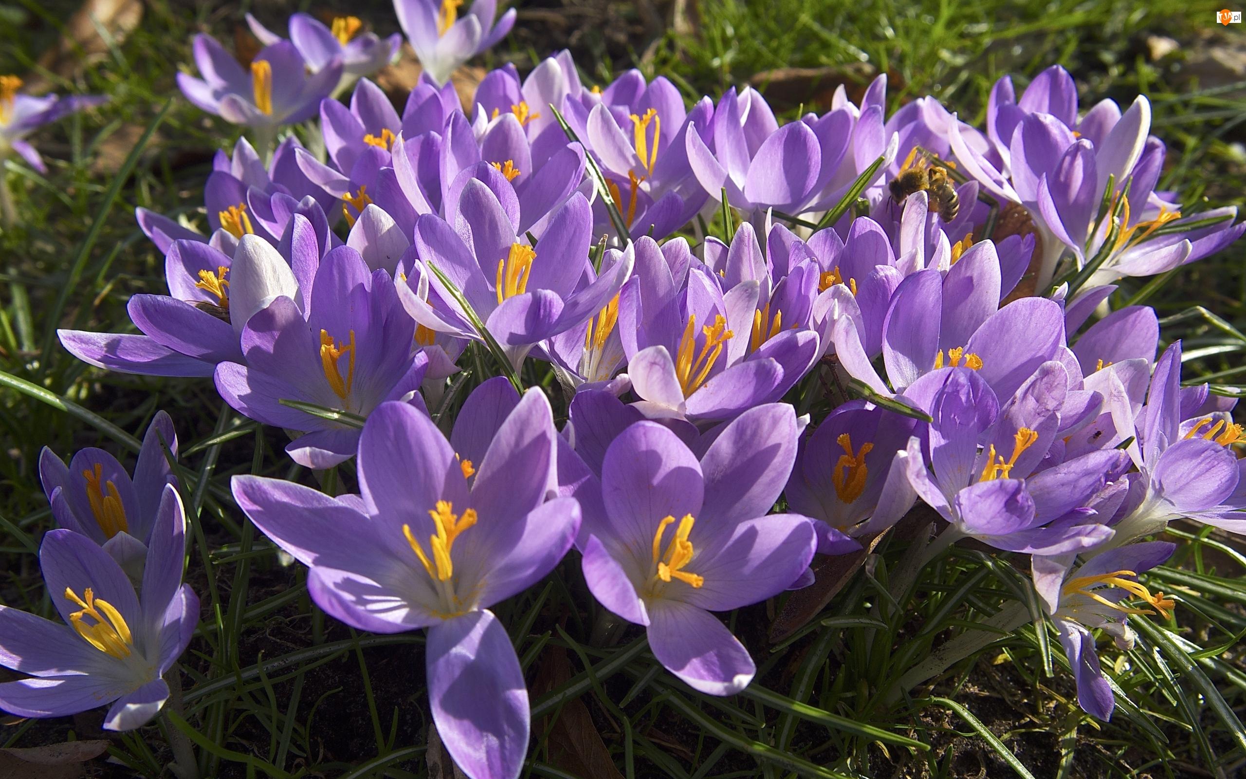 Rozświetlone, Pszczoła, Fioletowe, Kwiaty, Krokusy