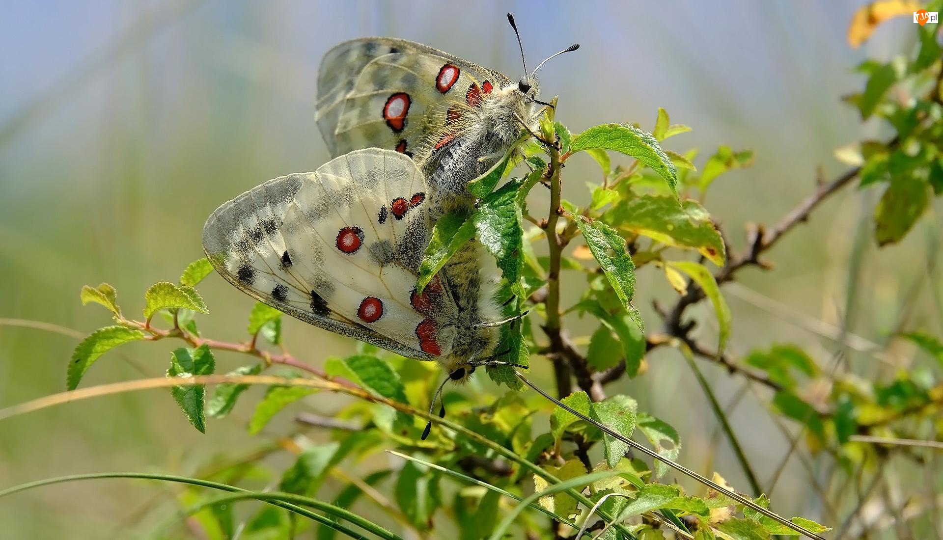 Liście, Motyle, Niepylaki apollo, Roślina