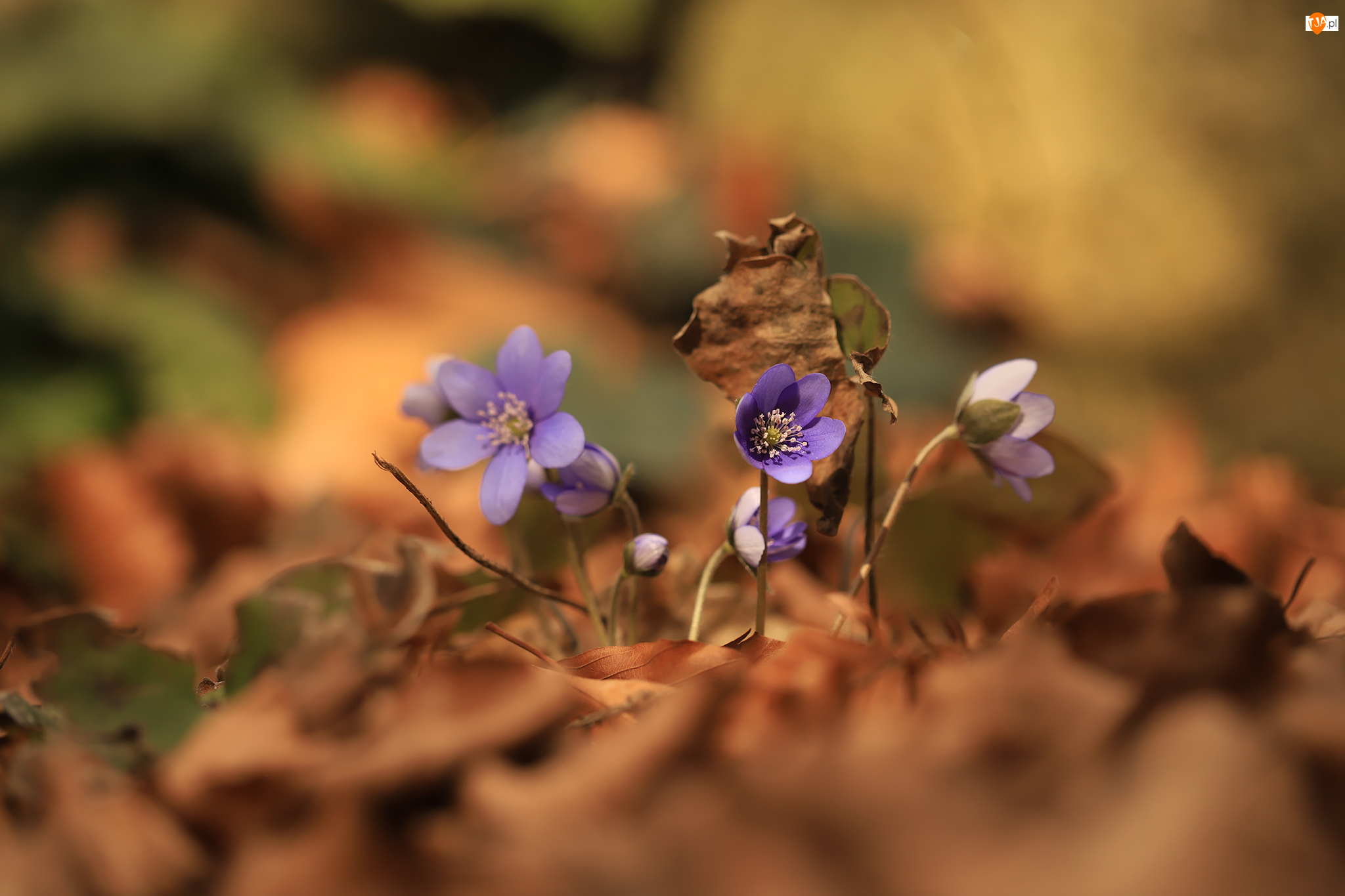 Liście, Przylaszczki, Fioletowe, Kwiaty
