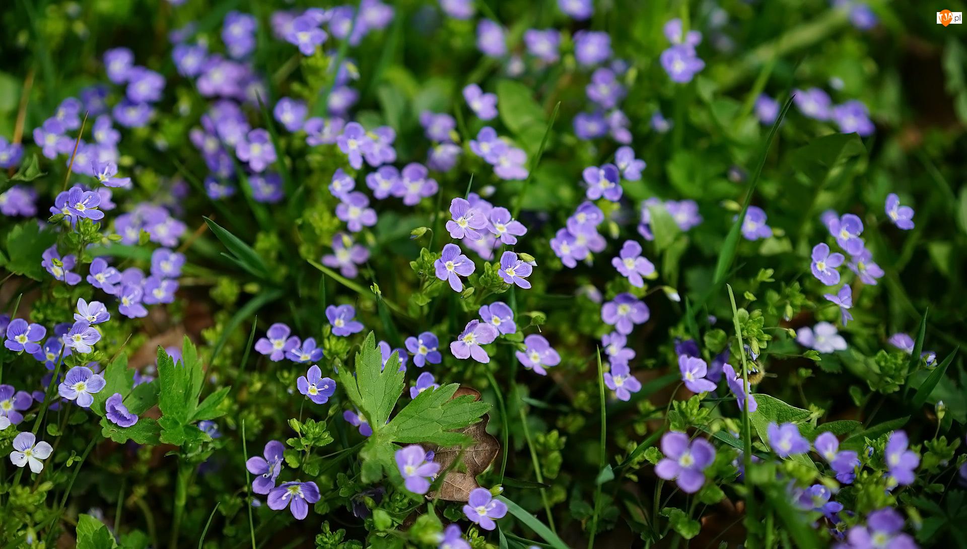 Liście, Kwiaty, Niebieskie, Przetacznik