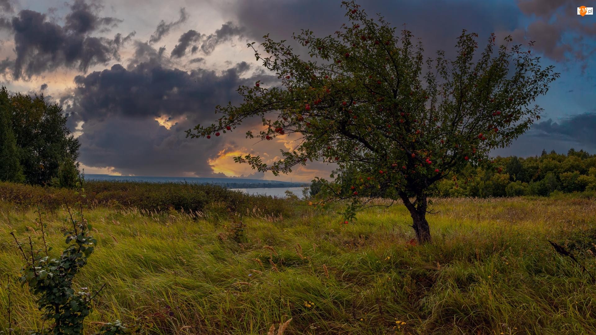 Jabłoń, Drzewo owocowe, Trawa, Jezioro, Łąka, Chmury