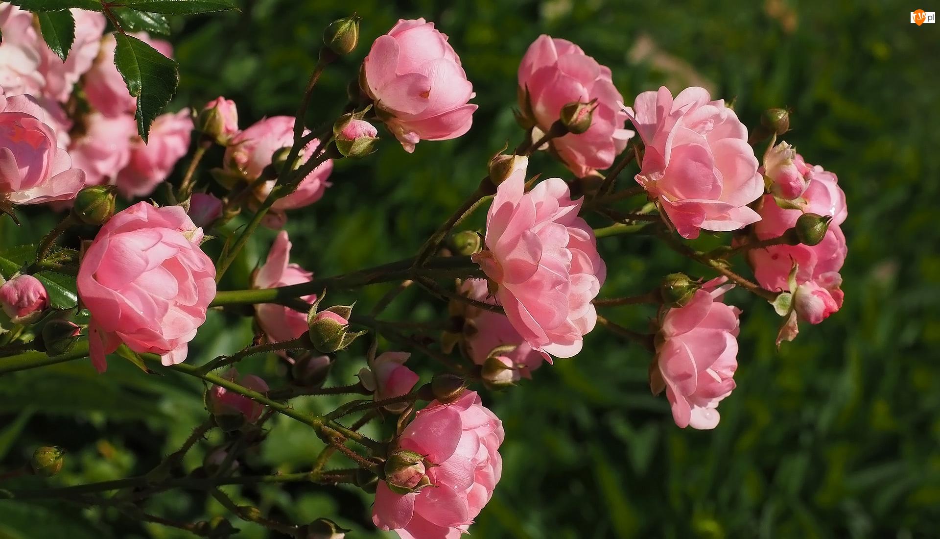 Róże, Pąki, Kwiaty, Różowe, Gałązka