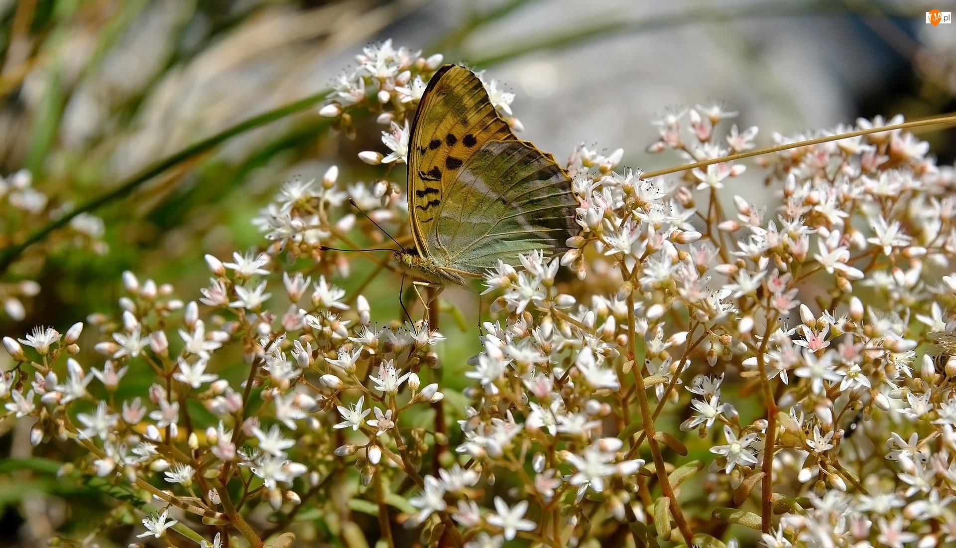 Białe, Kwiaty, Roślina, Motyl, Drobne