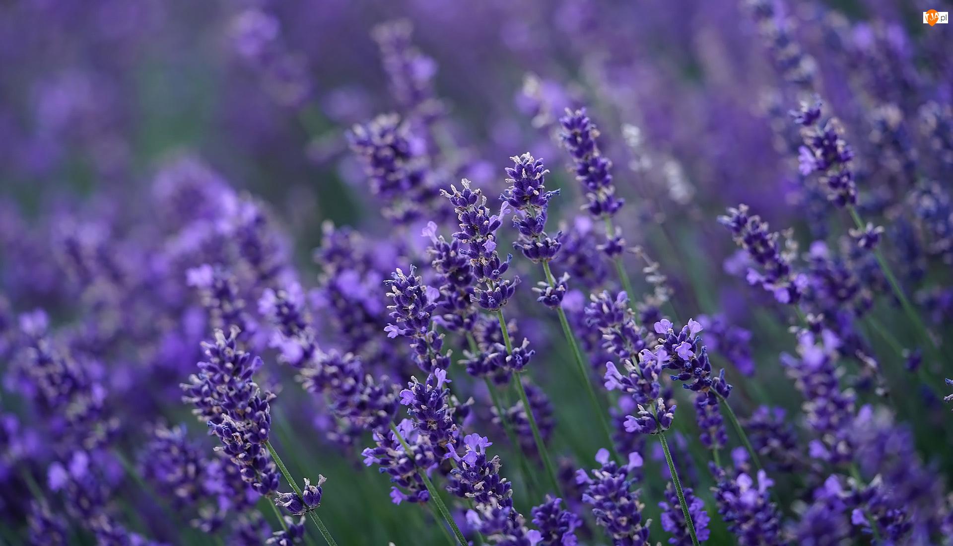 Zbliżenie, Kwiaty, Lawenda