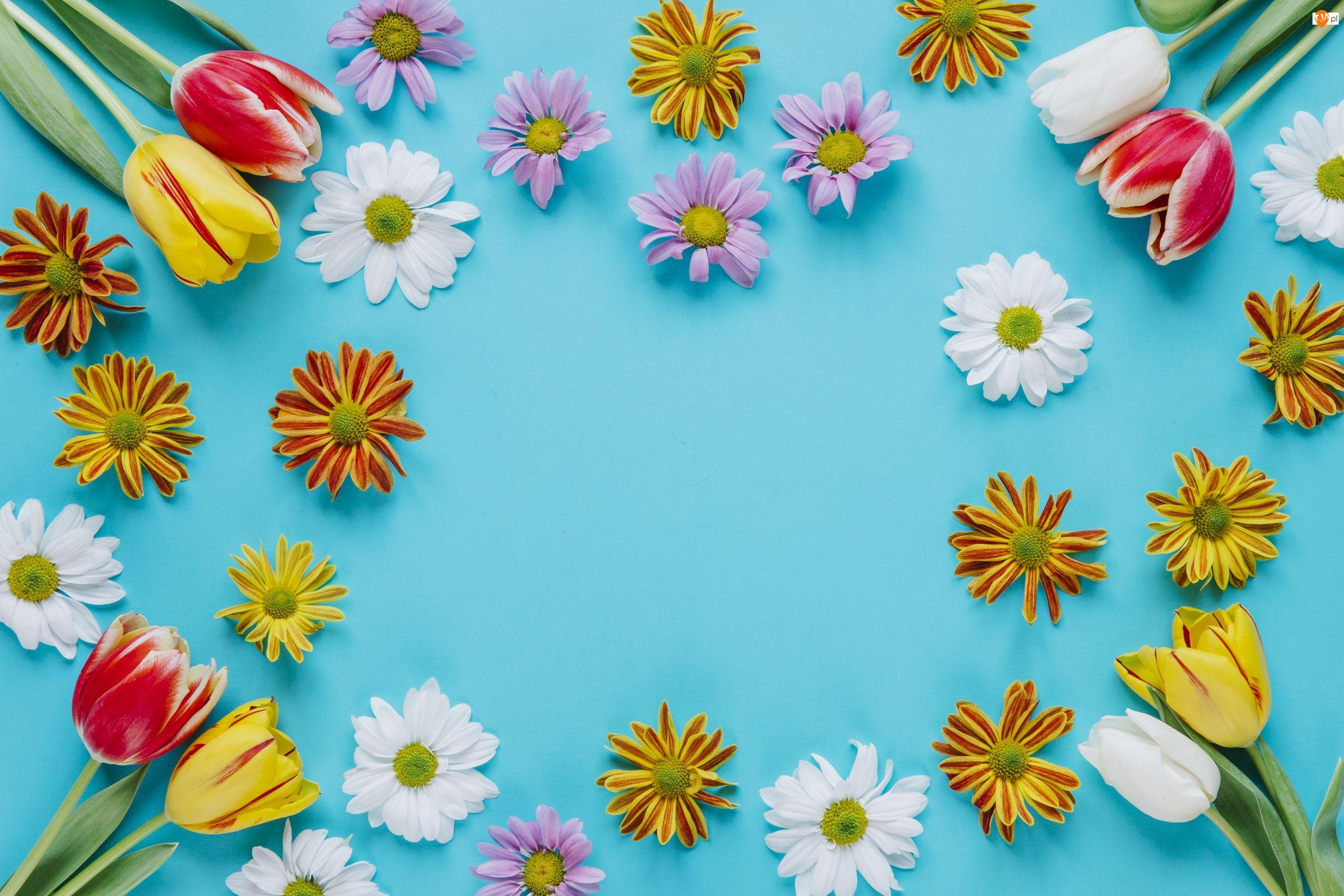 Kolorowe, Kwiaty, Chryzantemy, Tło, Tulipany, Niebieskie