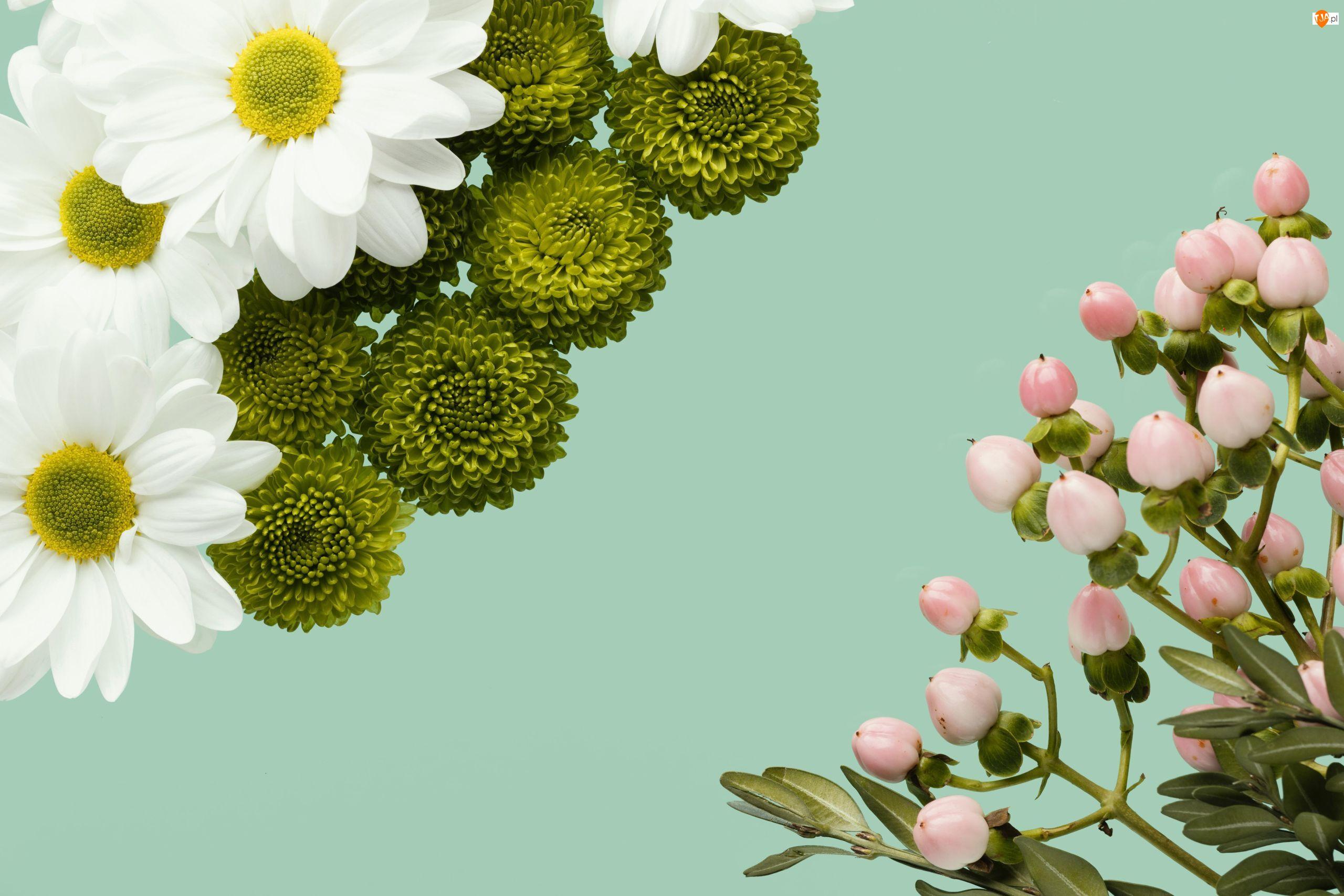 Różowe, Chryzantemy, Zielone, Białe, Kwiaty