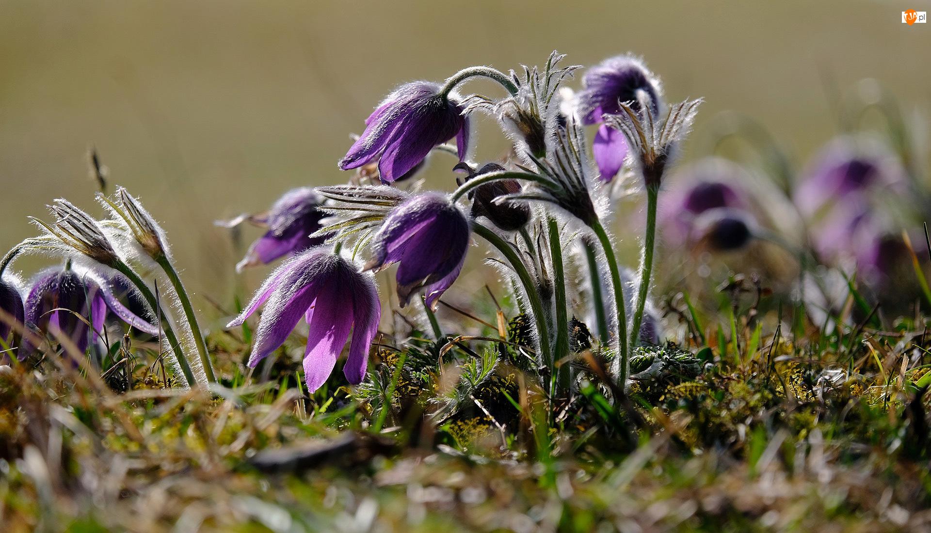 Trawa, Fioletowe, Kwiaty, Sasanki