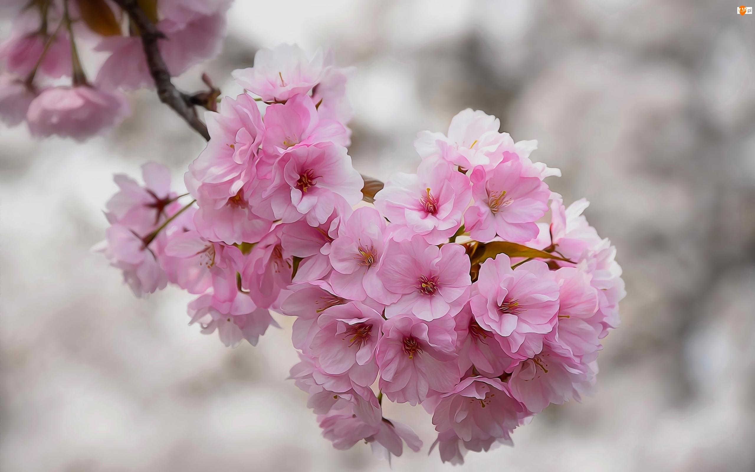 Wiśnia, Drzewo owocowe, Kwiaty