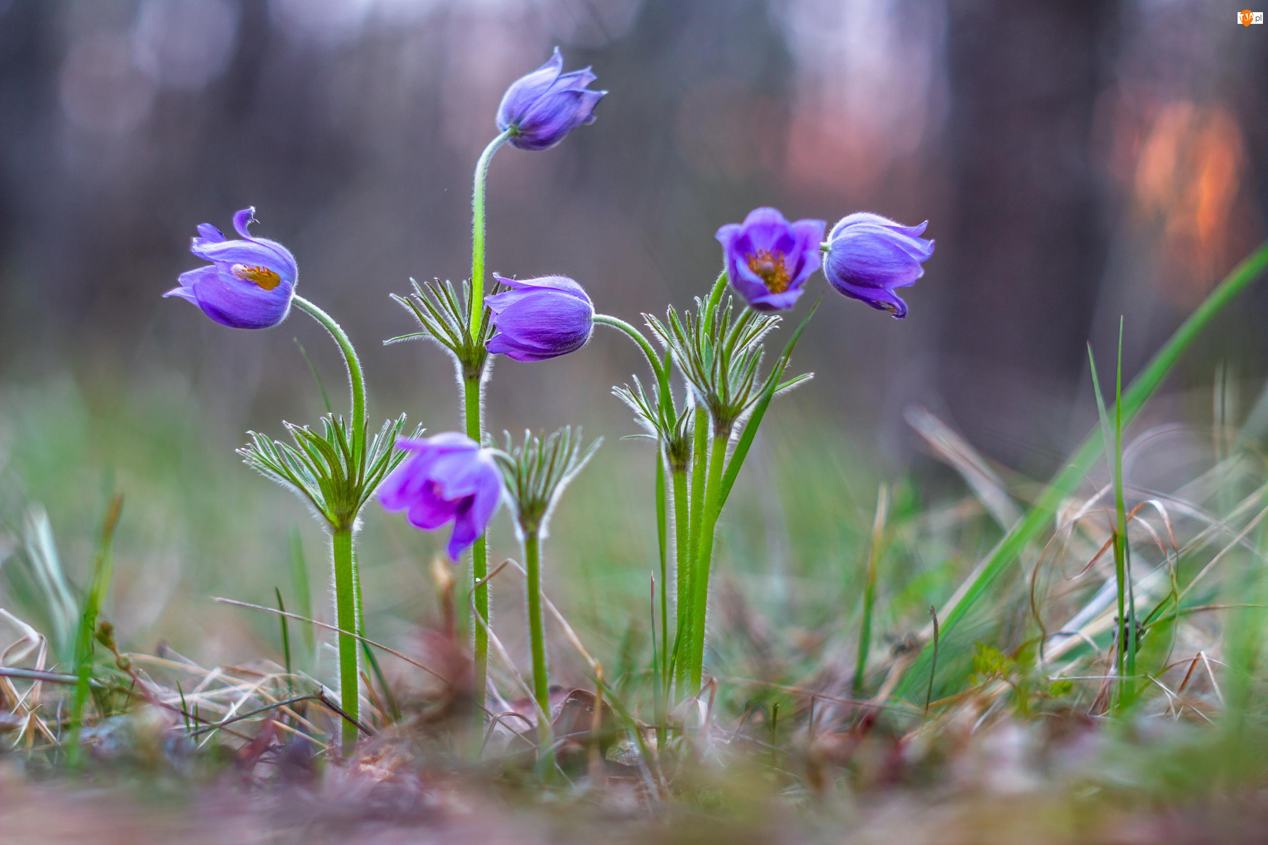 Sasanki, Kwiaty, Trawa, Fioletowe