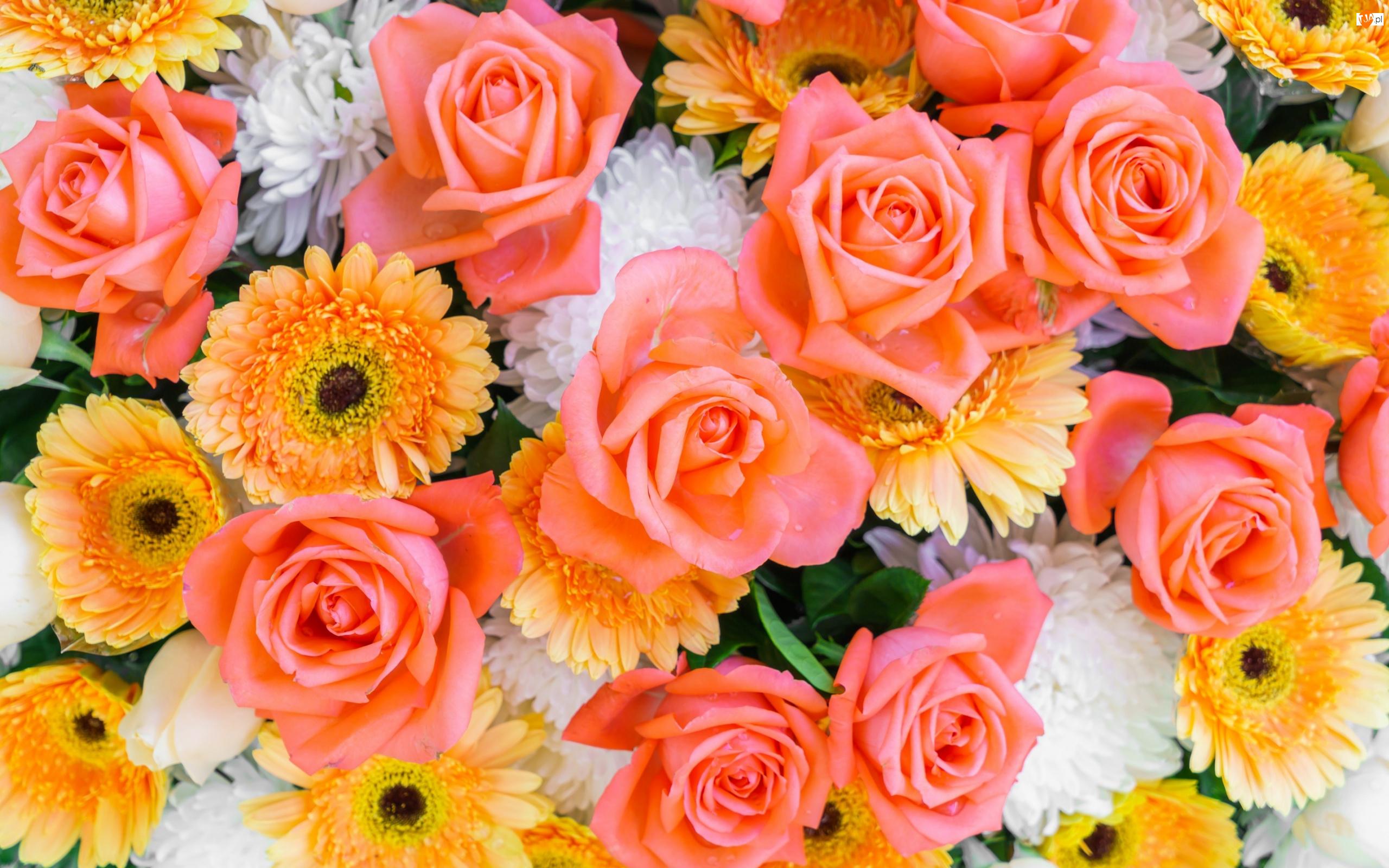 Astry, Kwiaty, Róże, Gerbery