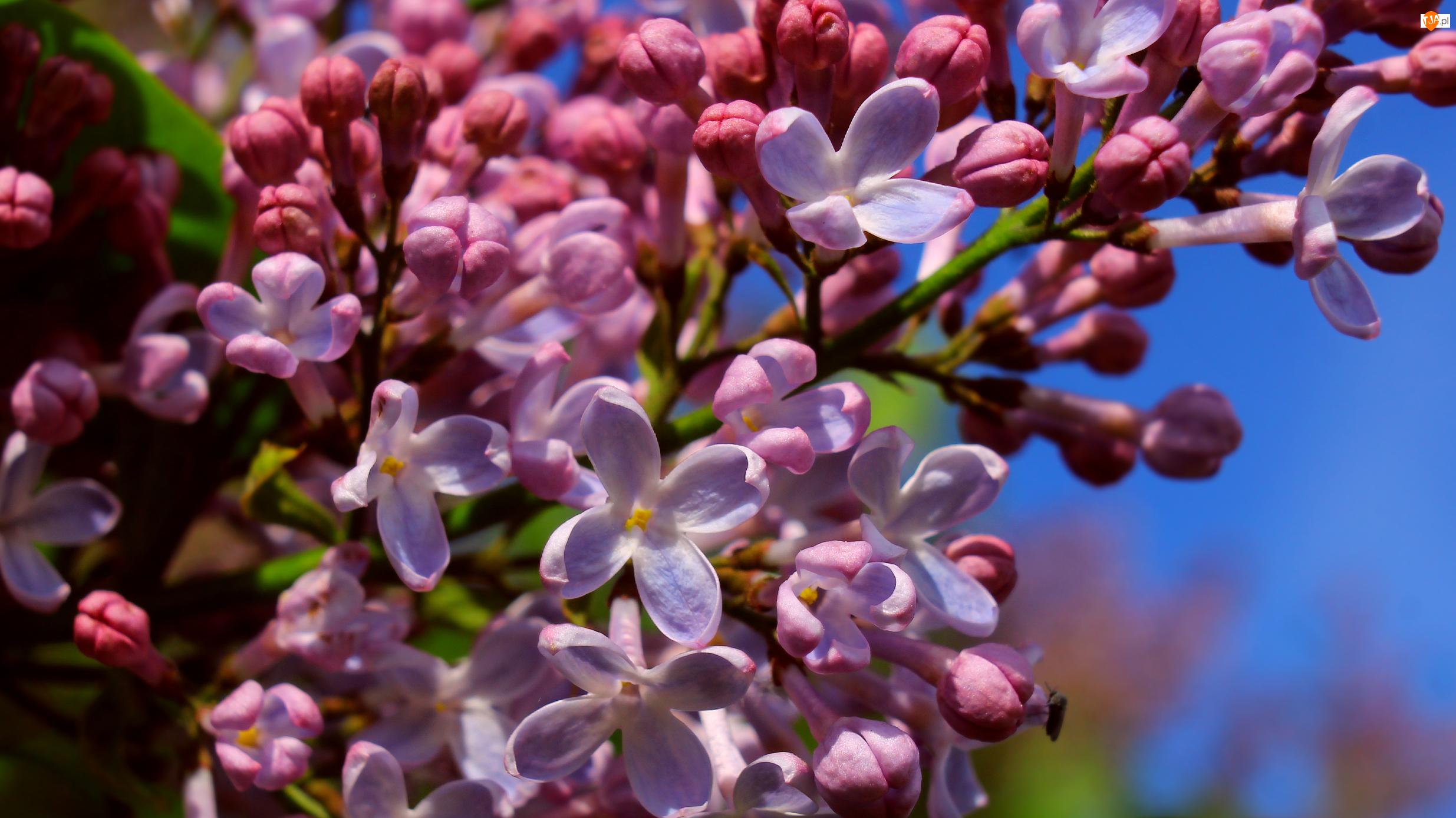 Bez, Lilak, Zbliżenie, Kwitnący, Pąki, Kwiaty, Jasnofioletowe