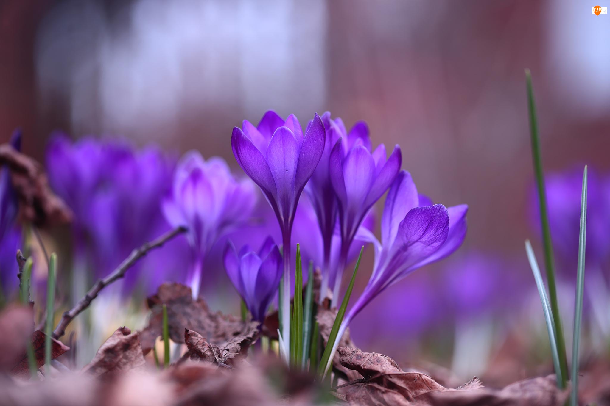 Kępka, Liście, Krokusy, Fioletowe, Kwiaty