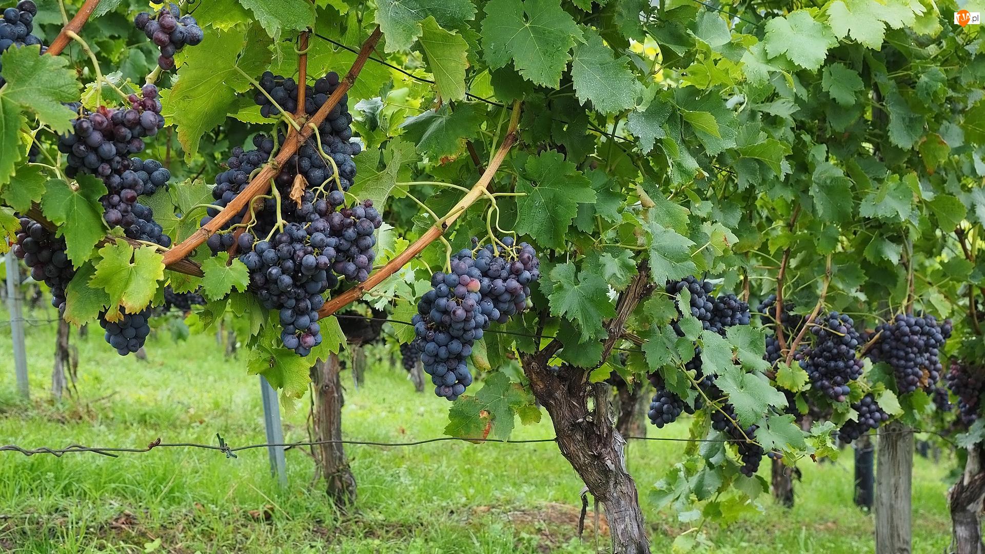 Owoce, Plantacja, Kiście, Winogrona, Liście