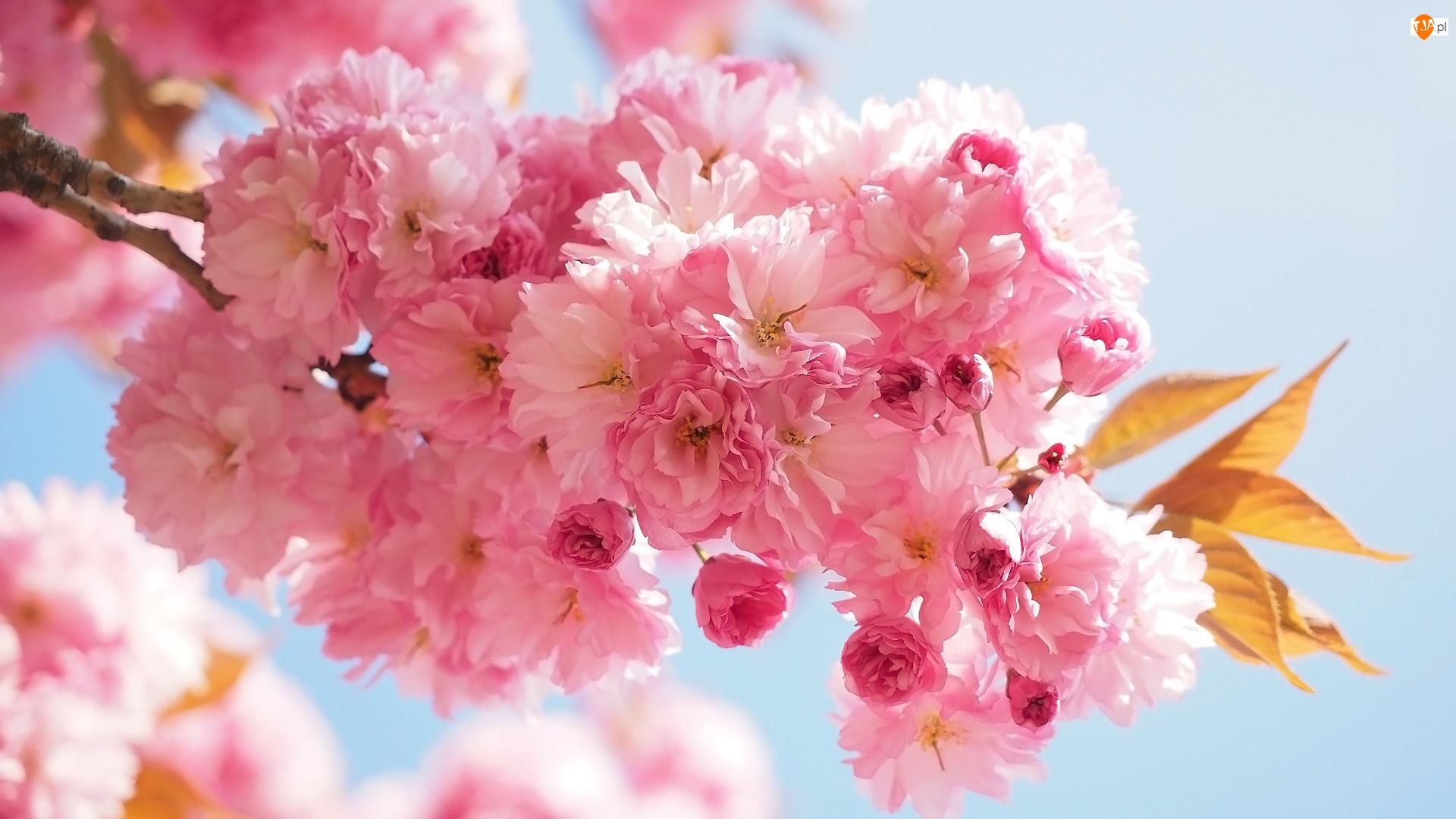 Kwiaty, Drzewo owocowe, Wiśnia japońska, Gałązka