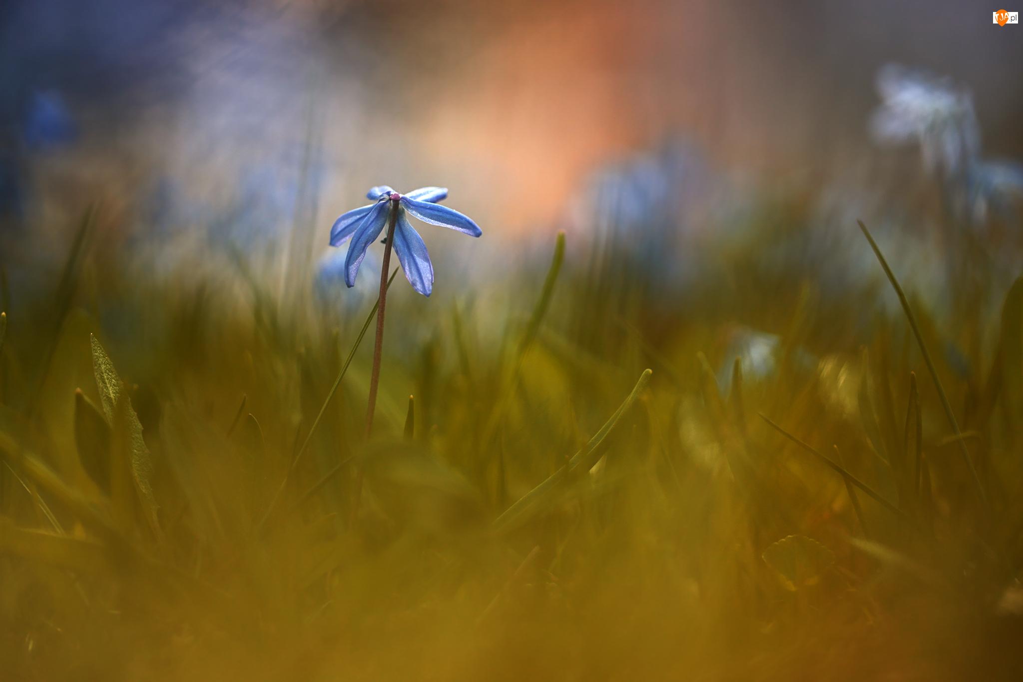 Trawa, Cebulica syberyjska, Niebieski, Kwiat