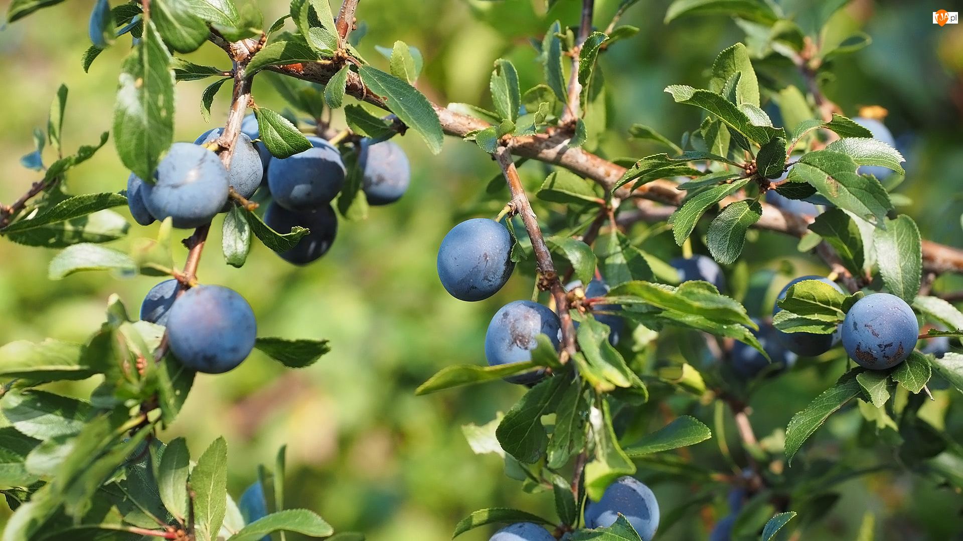 Śliwki, Liście, Śliwa tarnina, Drzewo owocowe, Gałązki