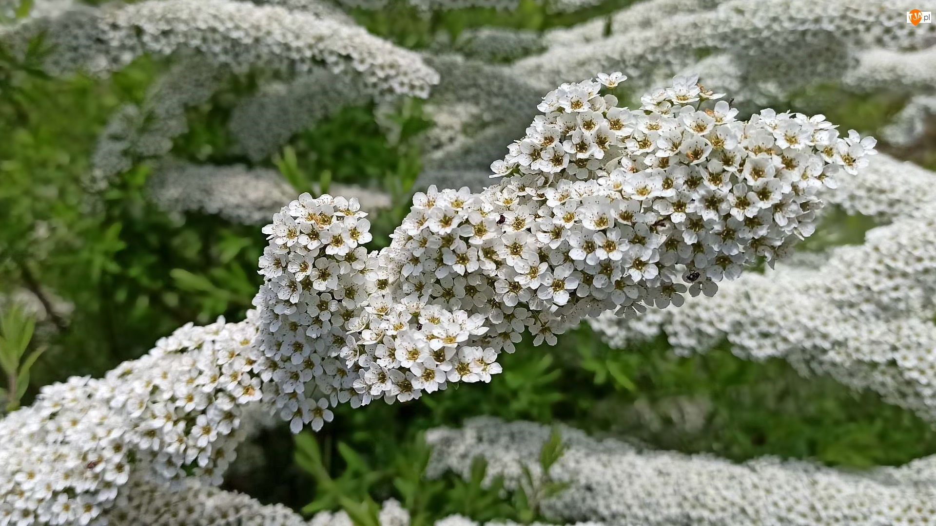Kwitnąca, Tawuła, Kwiaty, Białe, Gałązka