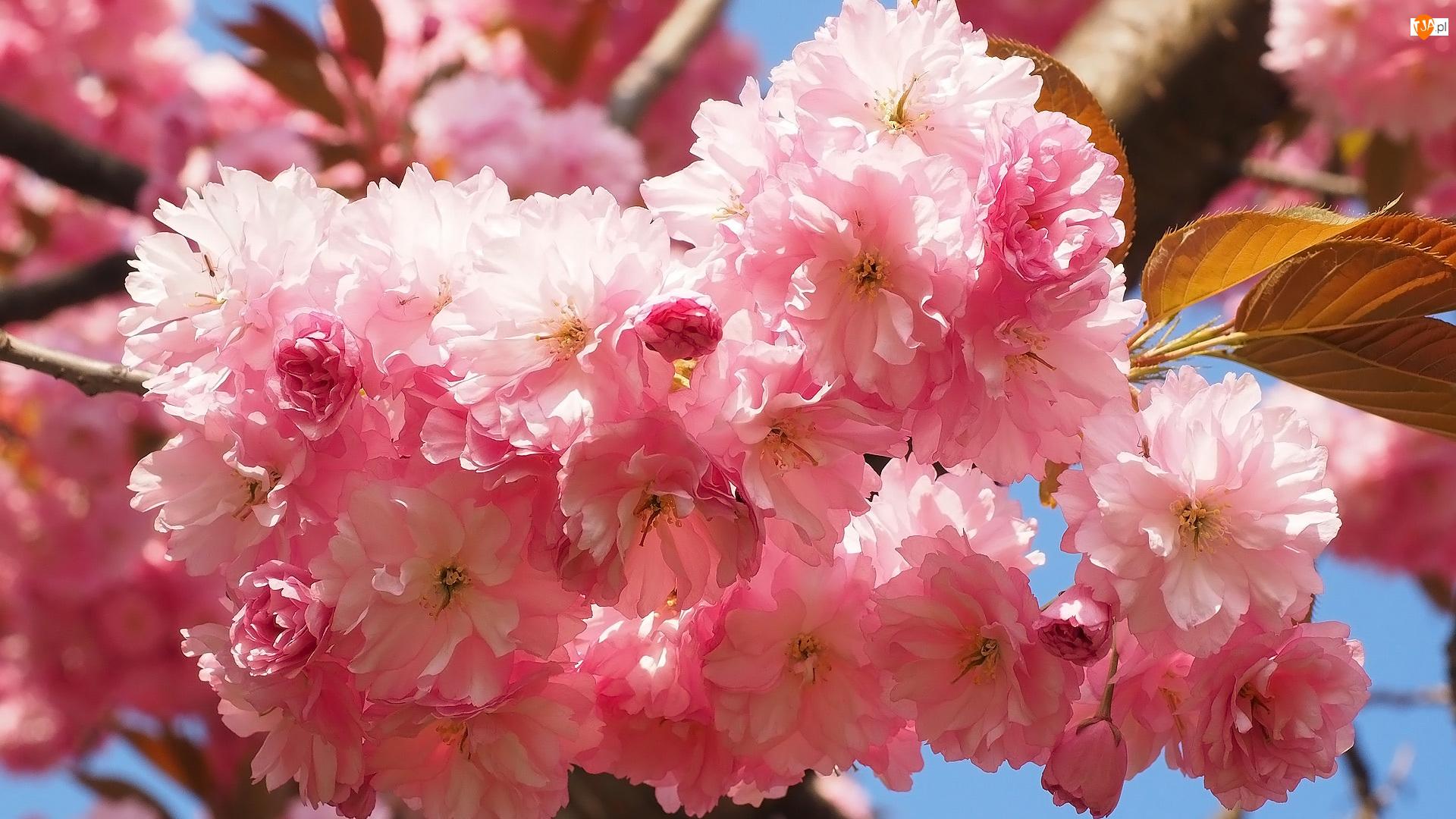 Drzewo owocowe, Liście, Wiśnia, Kwiaty, Gałązki