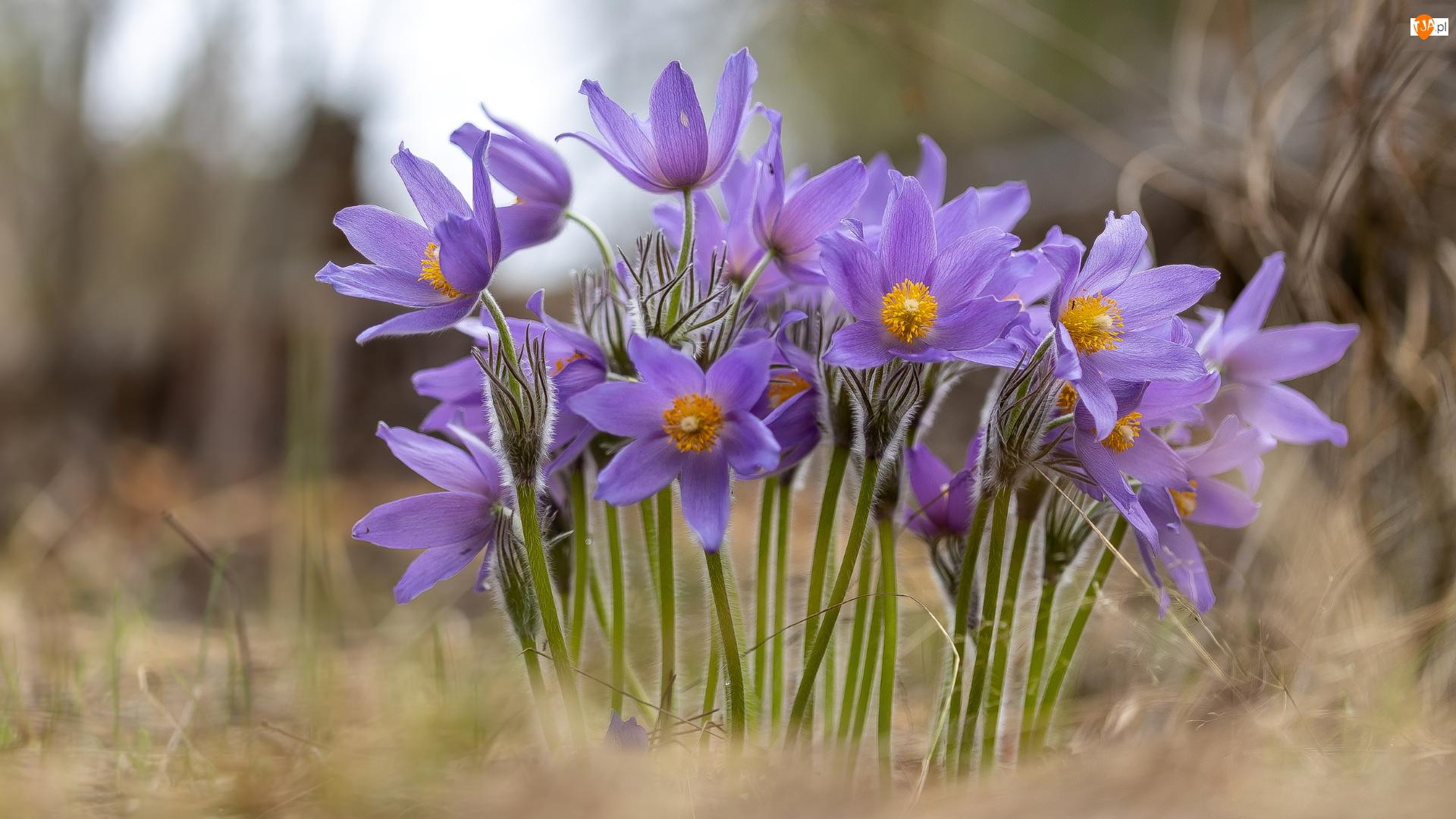 Kępka, Jasnofioletowe, Kwiaty, Sasanki