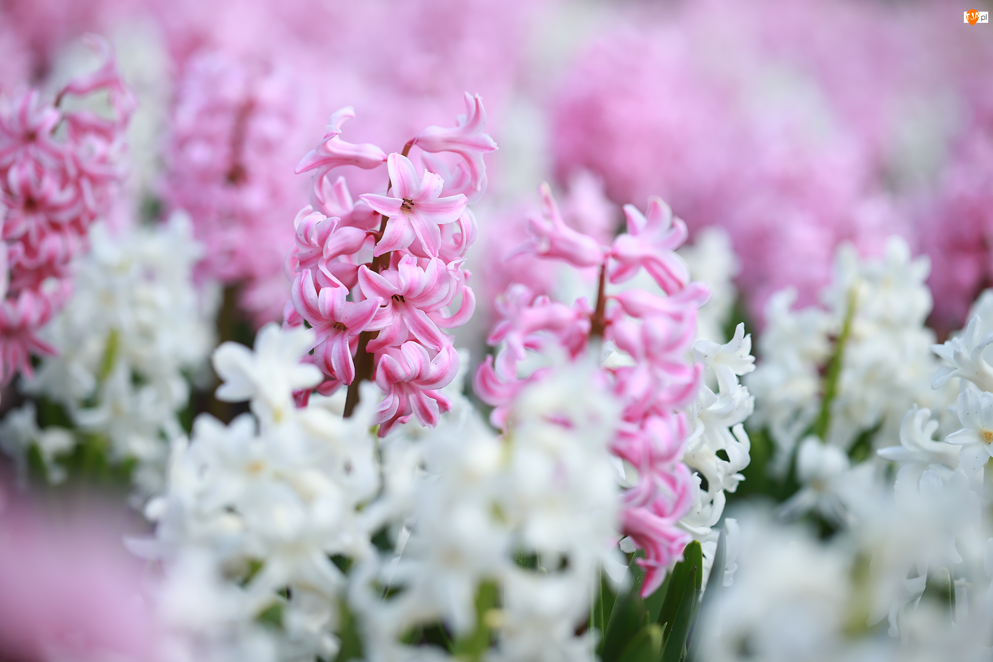 Hiacynty, Różowe, Białe