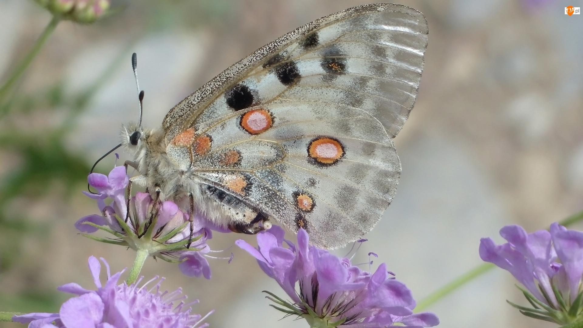 Kwiaty, Motyl, Niepylak apollo