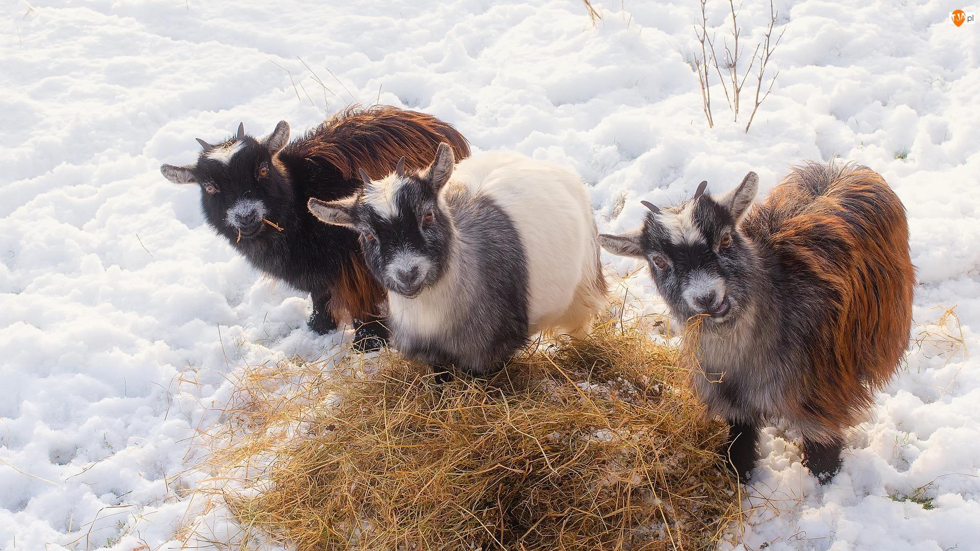 Kozy, Śnieg, Młode, Trzy, Siano