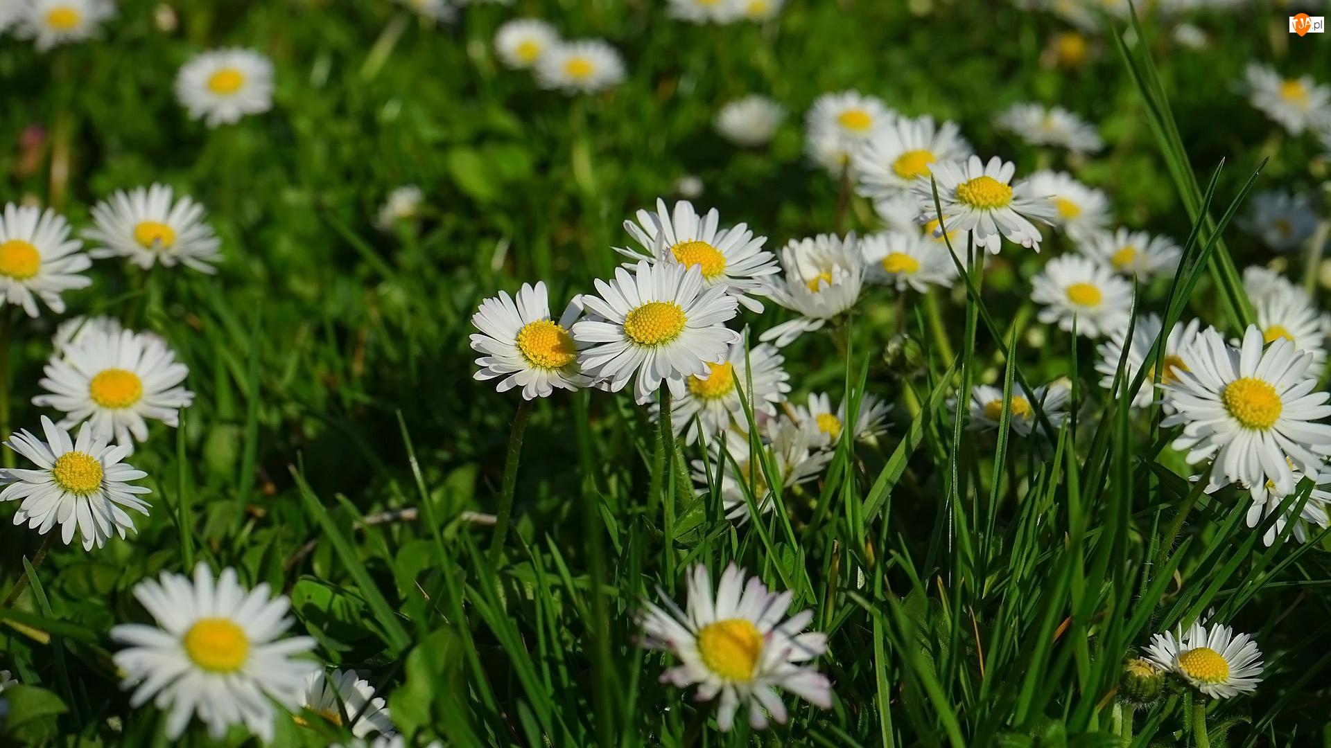 Trawa, Kwiaty, Stokrotki, Zbliżenie