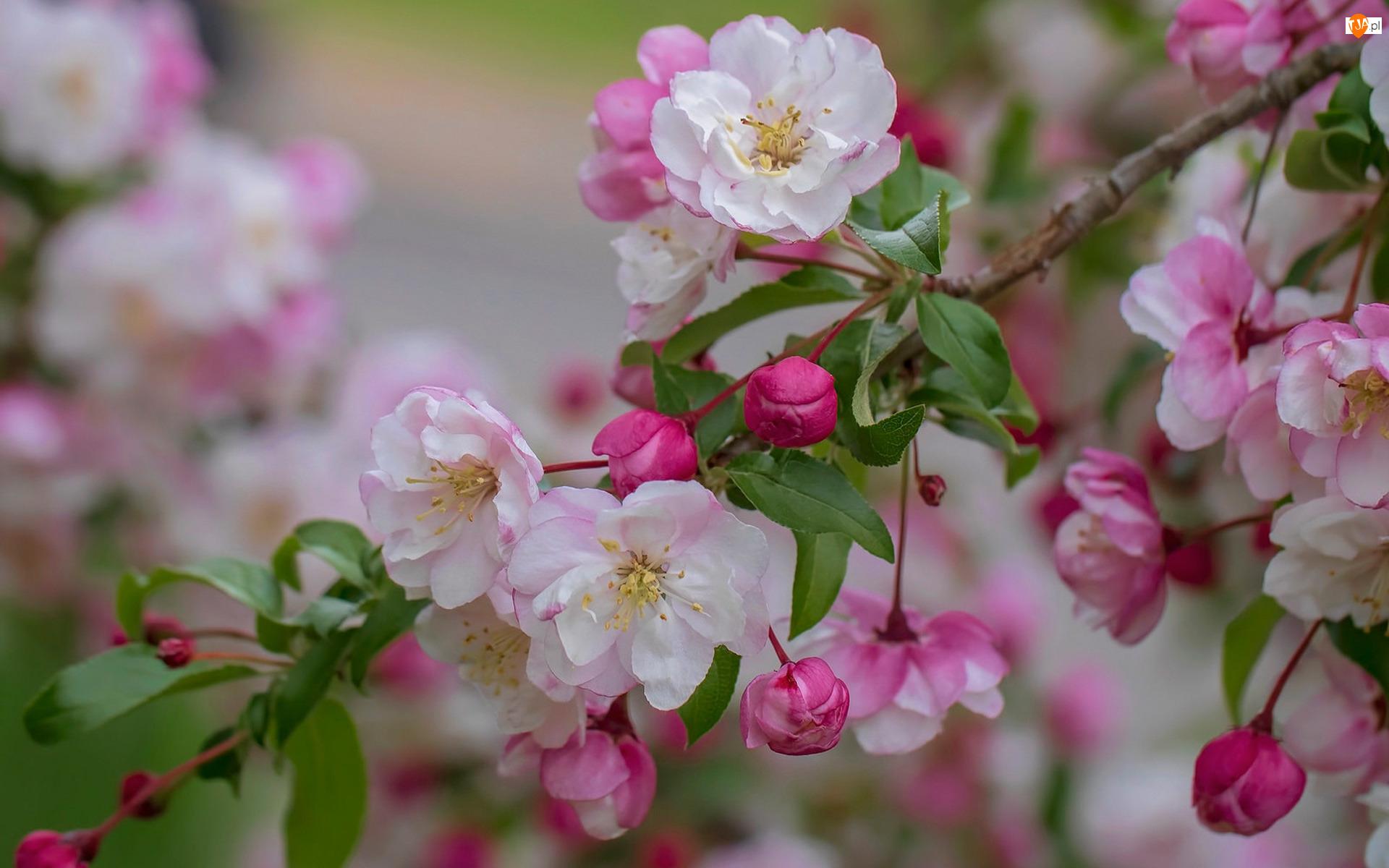Gałązka, Kwiaty, Jabłoń, Drzewo owocowe, Biało-różowe
