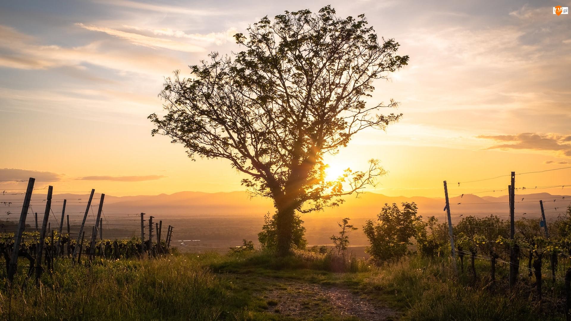 Winnice, Promienie słońca, Drzewo, Łąka, Ogrodzenie