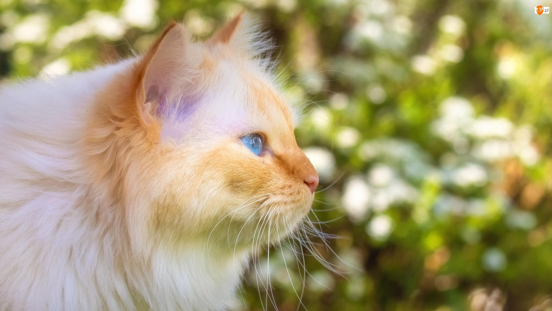 Niebieskooki, Profil, Rudy, Zapatrzony, Kot