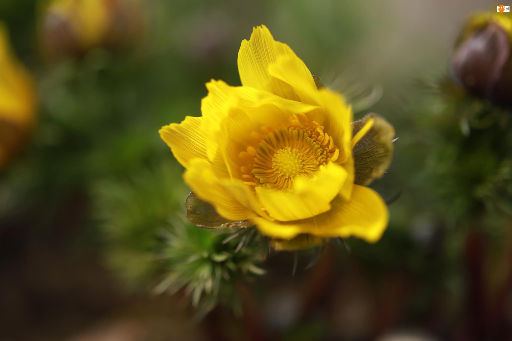 Kwiat, Rozwinięty, Żółty