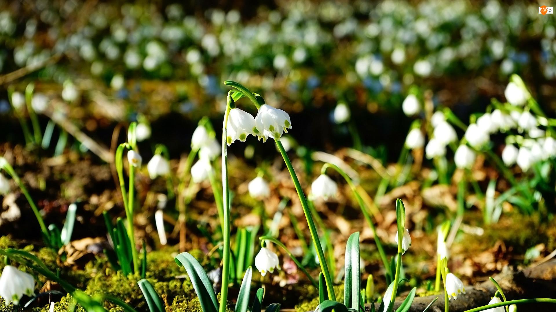 Śnieżyce, Kwiaty, Rozświetlone
