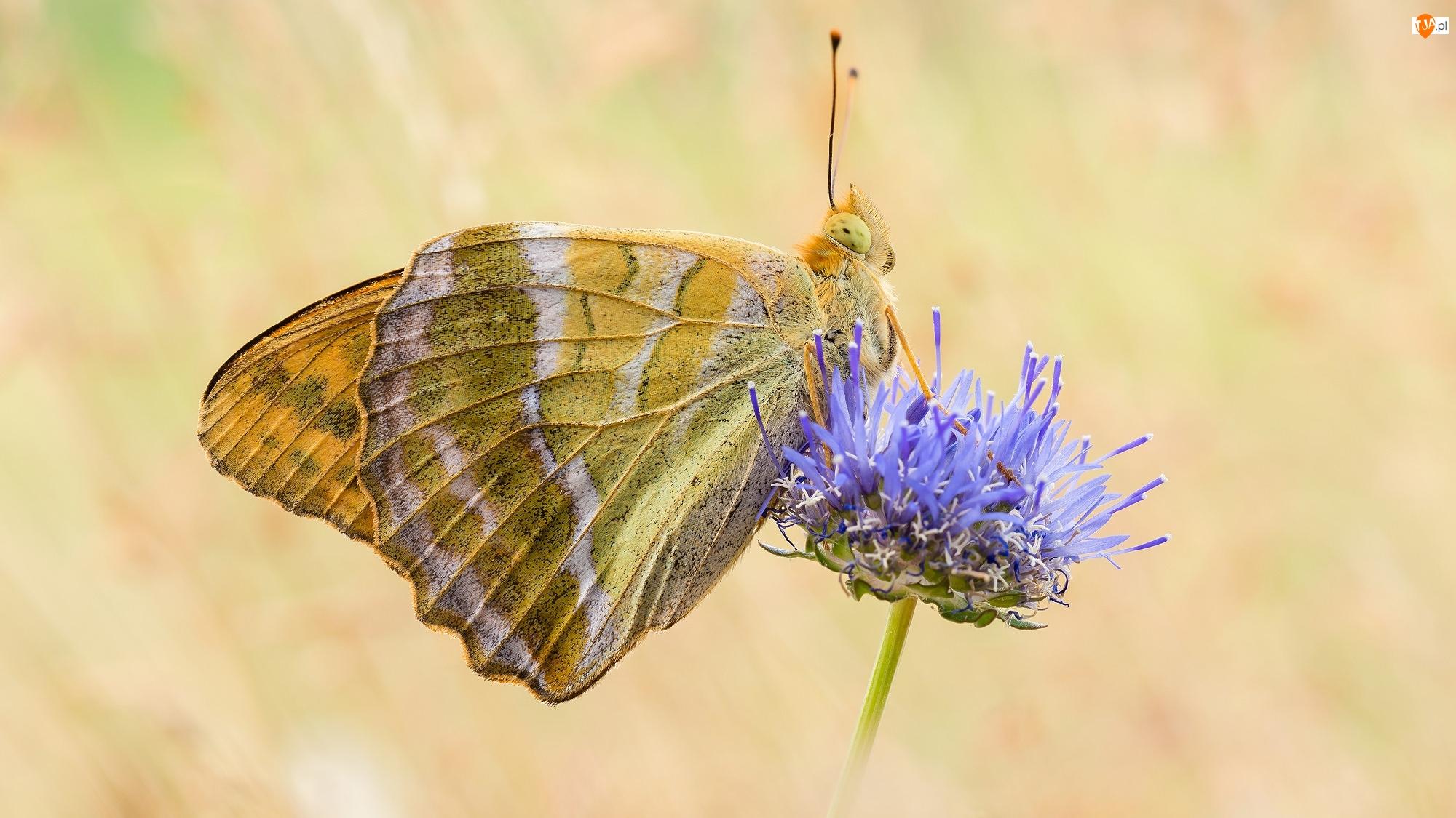 Dostojka malinowiec, Niebieski, Samiec, Motyl, Kwiat