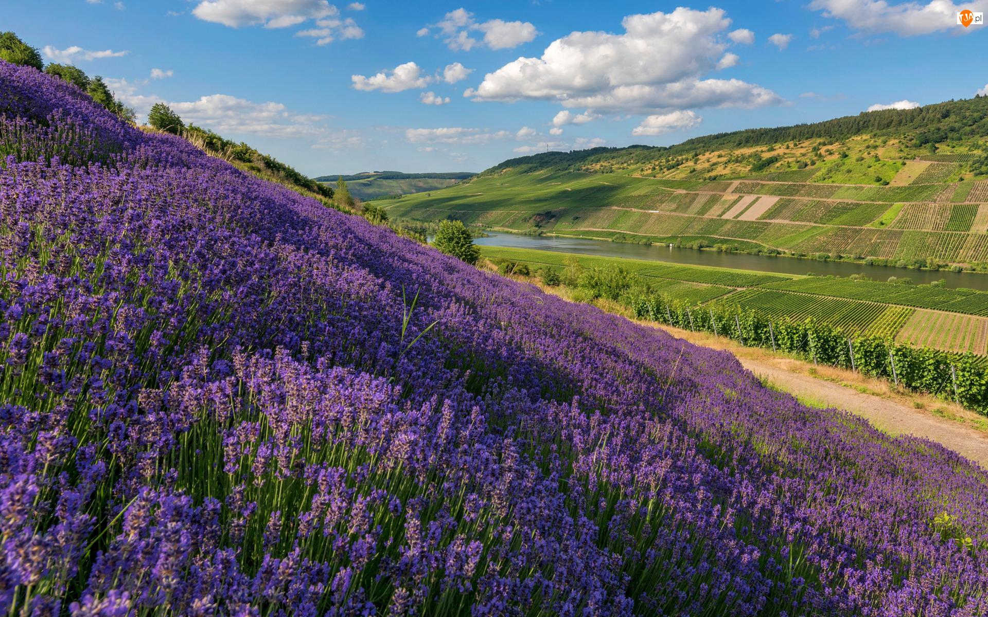 Winnice, Wzgórza, Lawenda, Rzeka, Pola, Dolina, Drzewa, Kwiaty