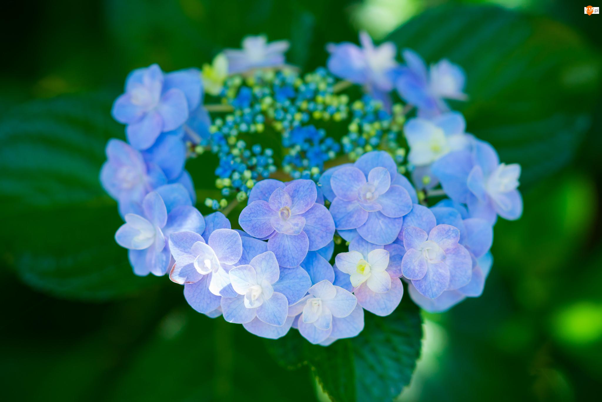 Liście, Niebieski, Kwiat, Hortensja