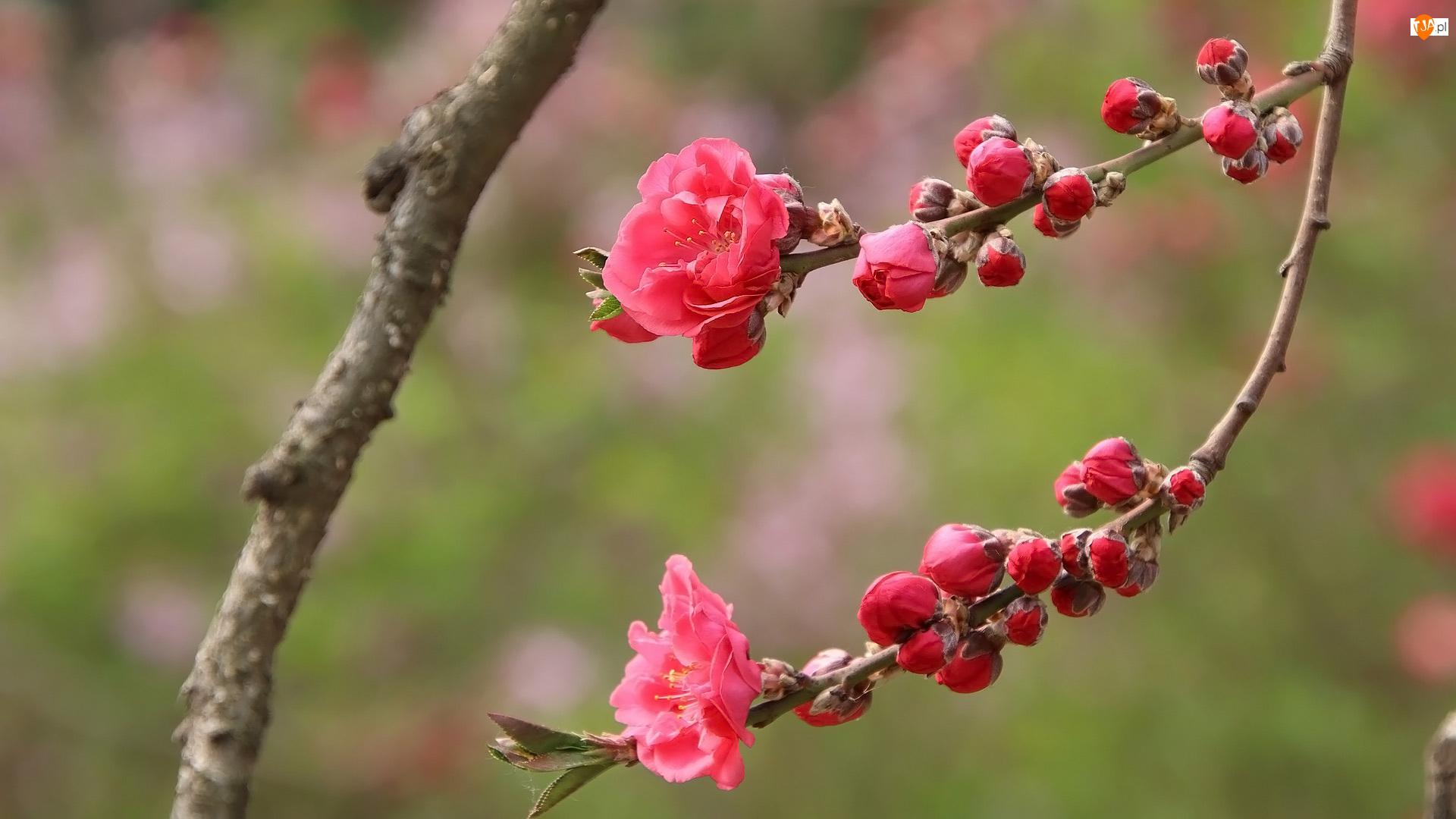 Kwiaty, Brzoskwinia, Gałązka, Okwiecona, Drzewo owocowe