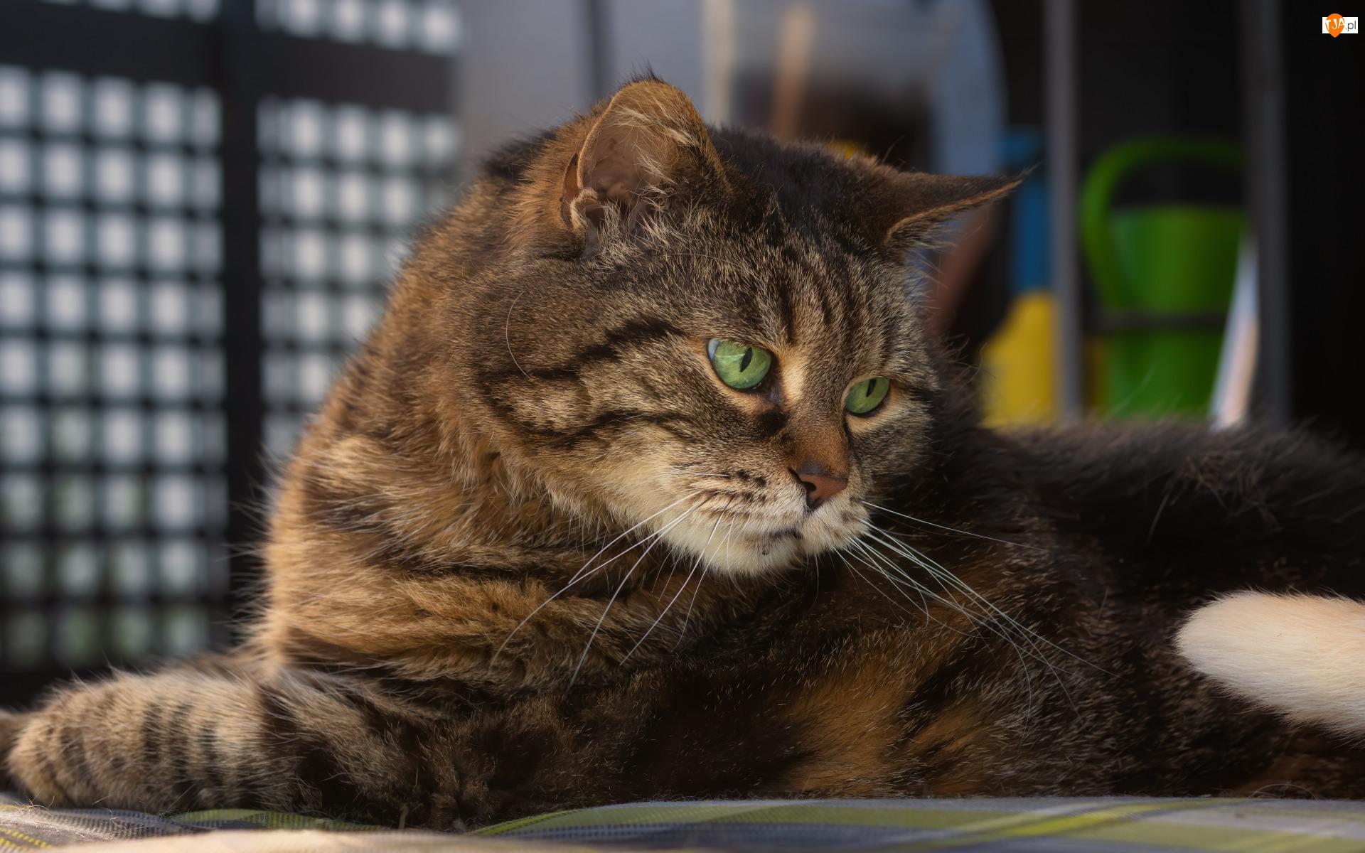 Spojrzenie, Leżący, Bury, Kot