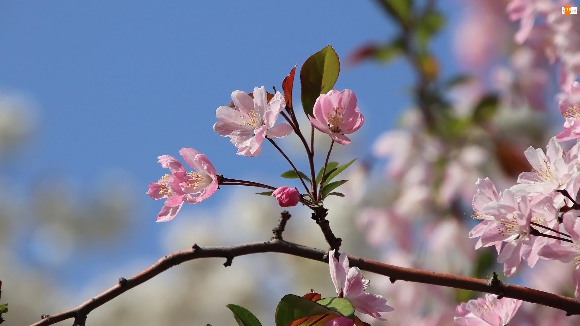 Gałązka, Kwiaty, Jabłoń, Drzewo owocowe, Różowe