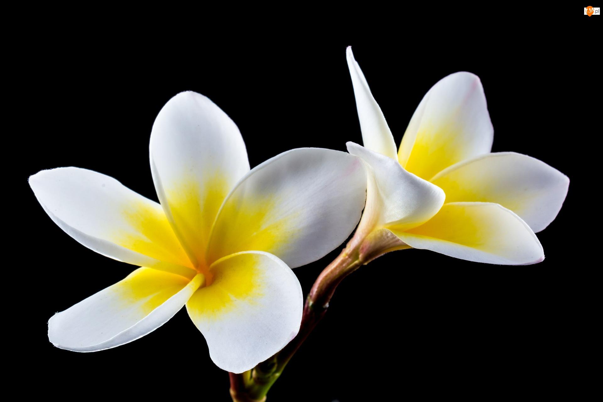 Plumerie, Kwiaty, Biało-żółte