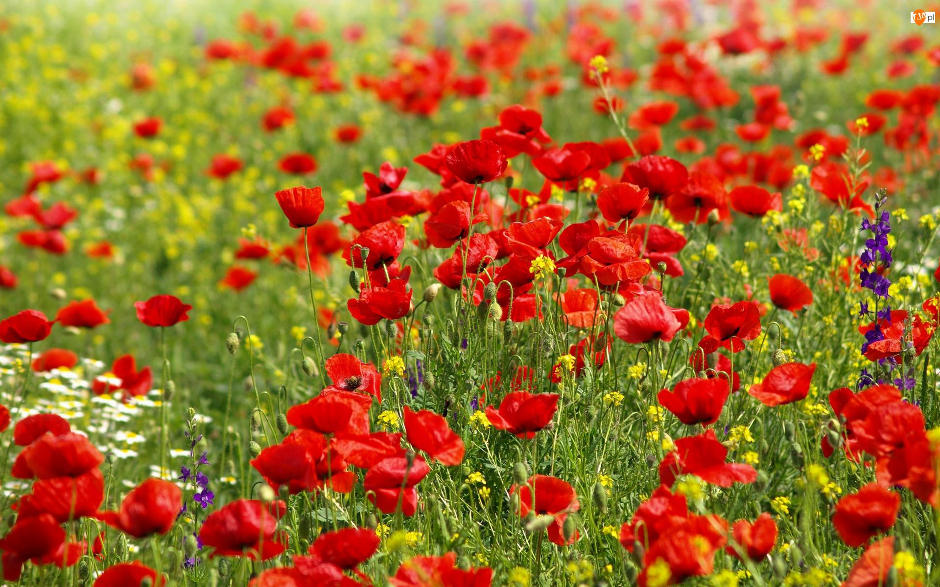 Maki, Kwiaty, Czerwone, Łąka, Polne