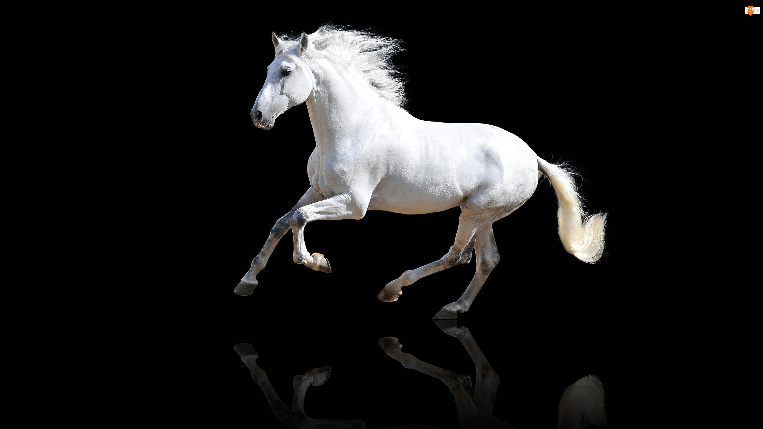 Odbicie, Tło, Koń andaluzyjski, Biały, Czarne
