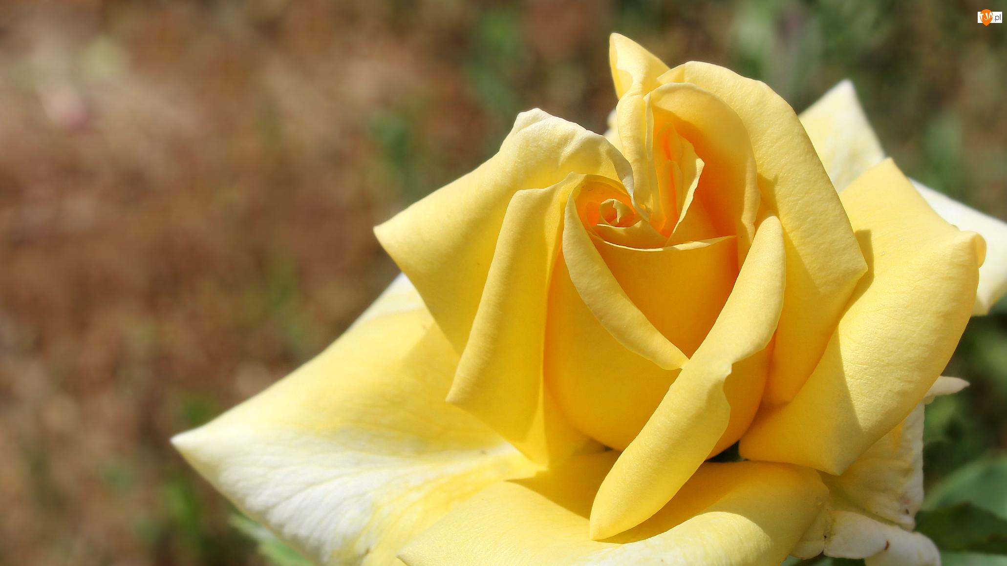 Zbliżenie, Żółta, Róża, Płatki