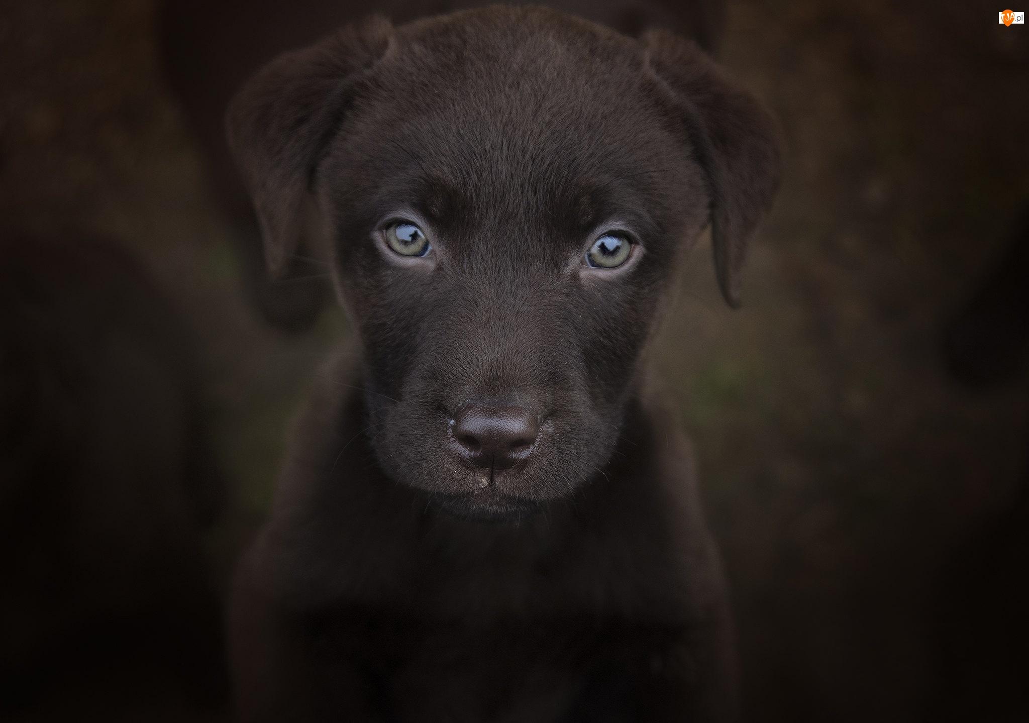 Labrador retriever, Ciemne tło, Szczeniak, Pies, Zbliżenie
